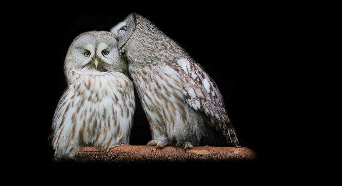 74 Snowy Owl Wallpaper Hd