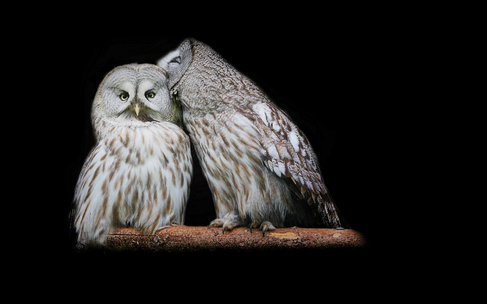 Great Grey Owl Computer Wallpapers, Desktop Backgrounds | .