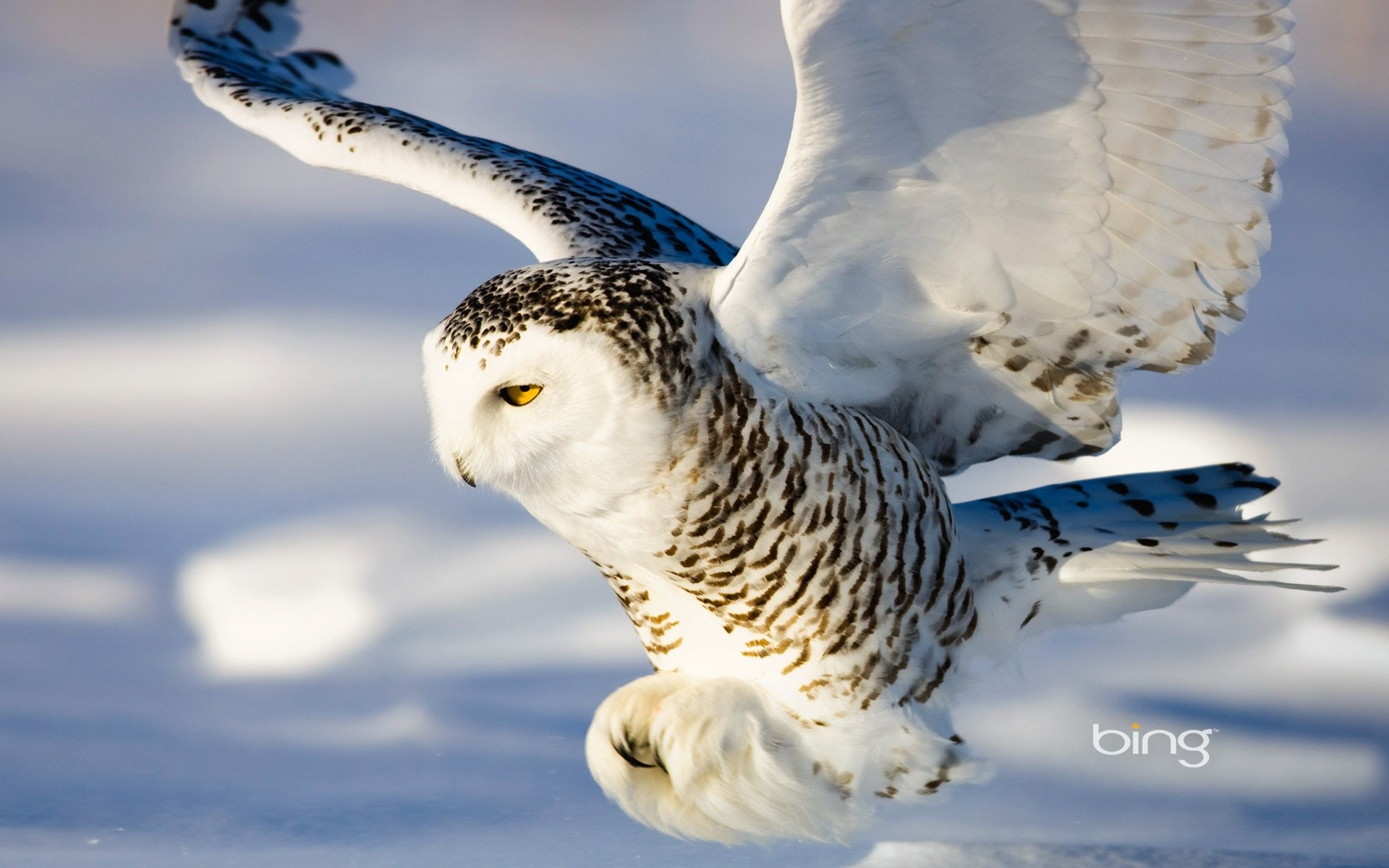 Animal – Snowy Owl Wallpaper