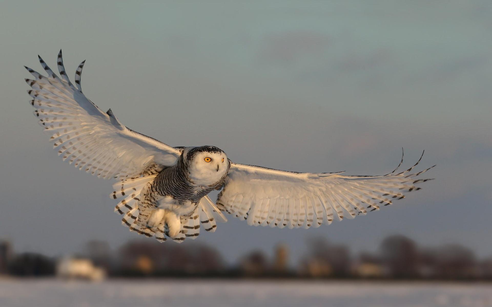 Flying Owl Wallpaper