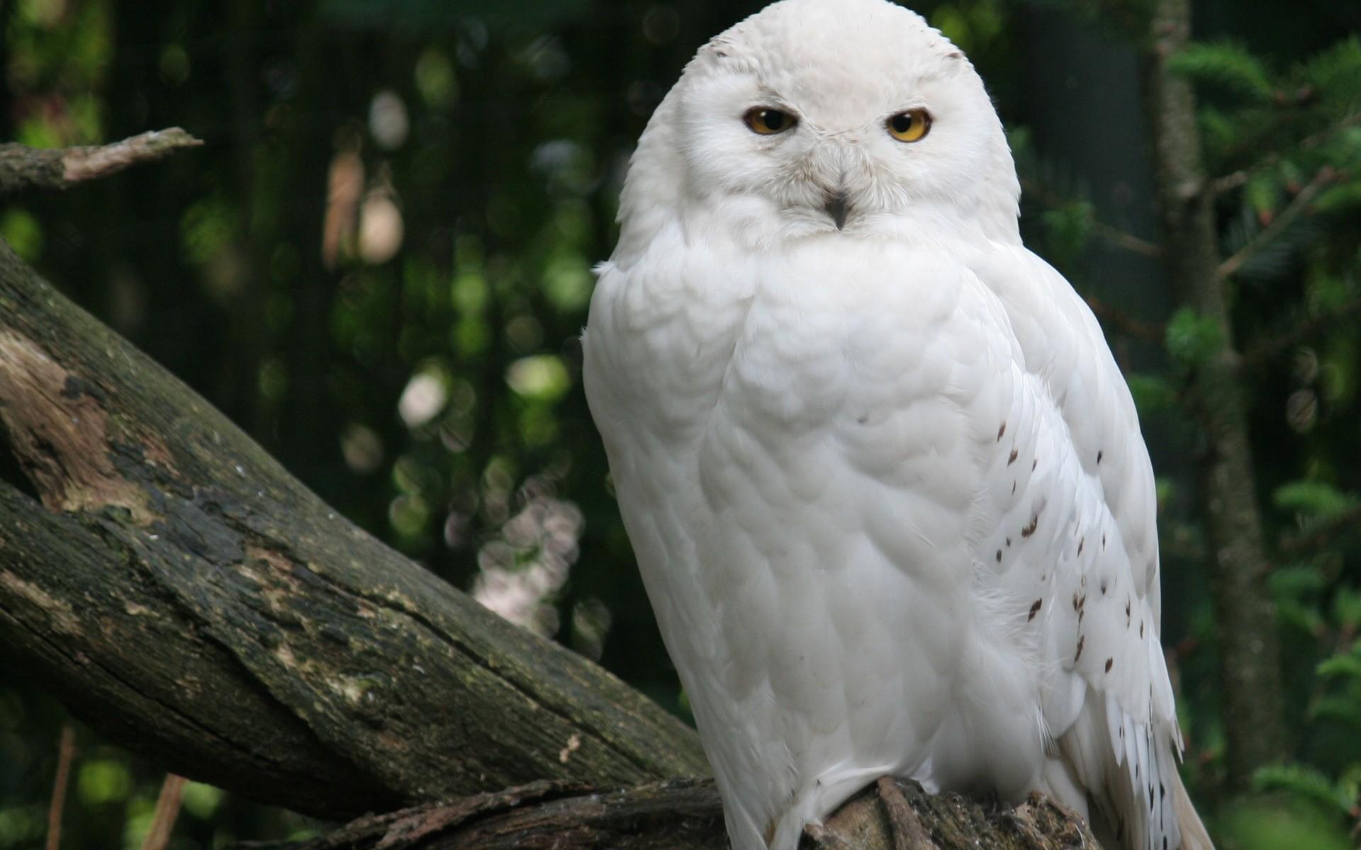 Owls, Snowy Owl, Download Free Snowy Owl Wallpaper, Owl Wallpaper .