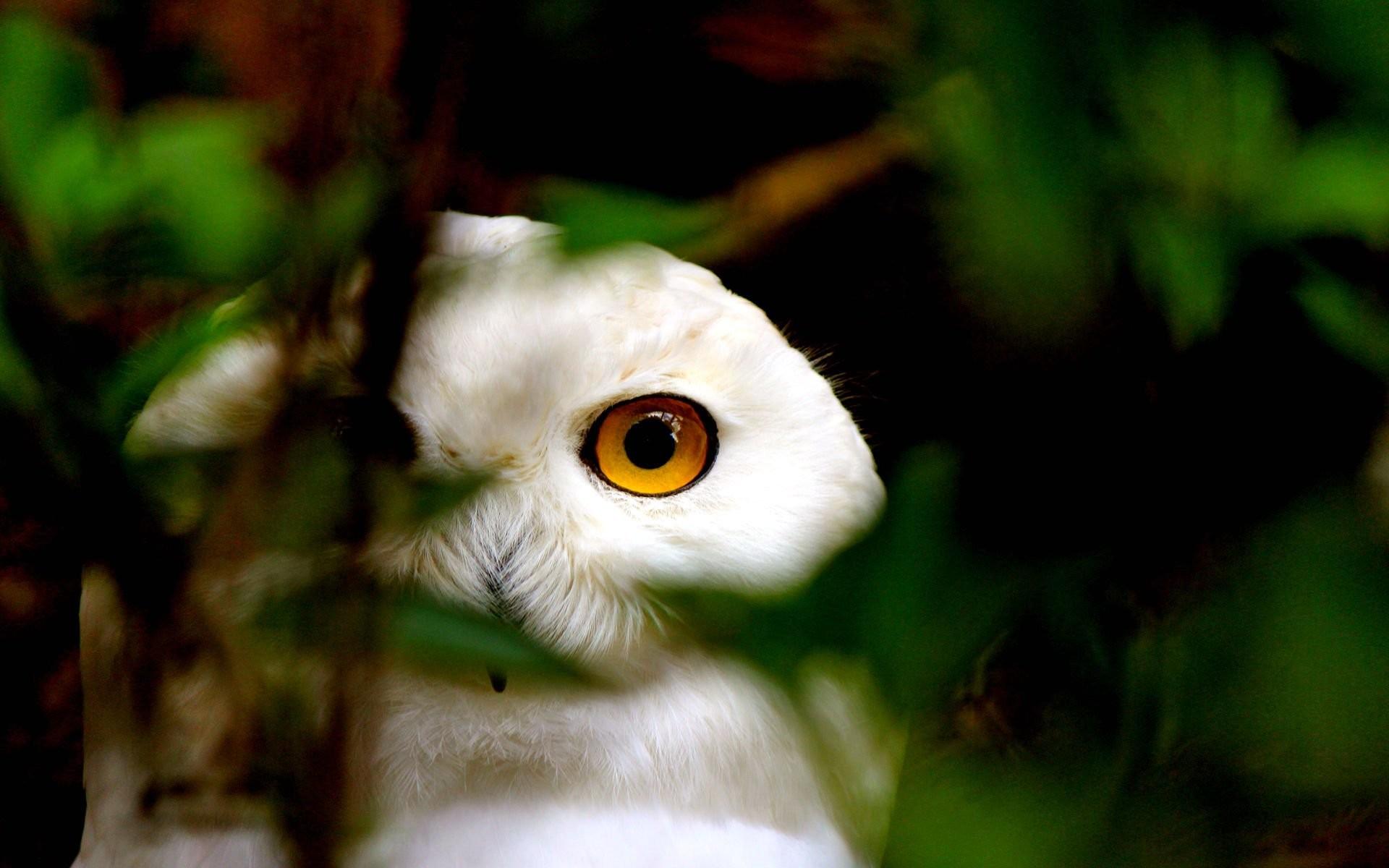 HD Wallpaper | Background ID:313302. Animal Snowy Owl