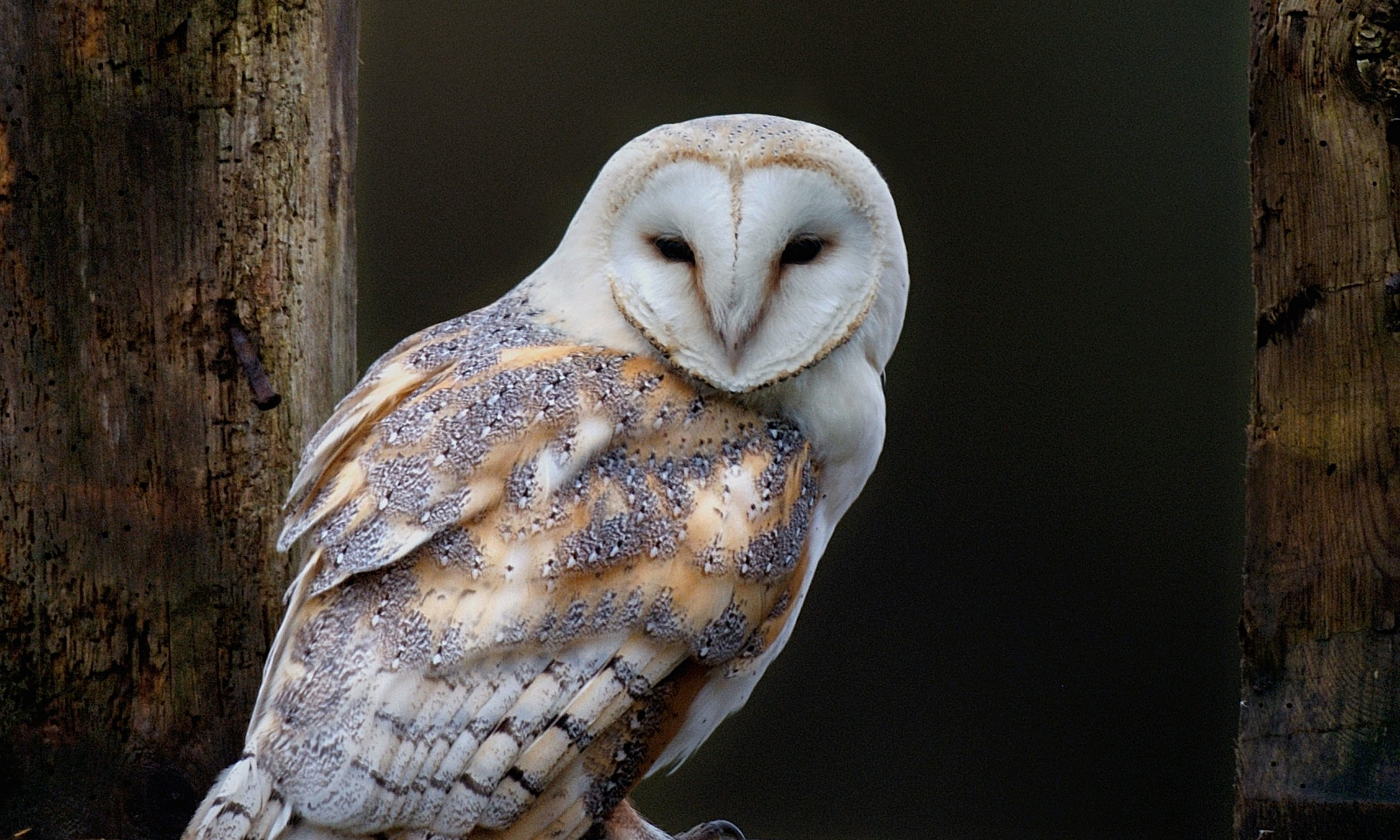on rat poisons urged to protect barn owls | Environment | The Guardian .