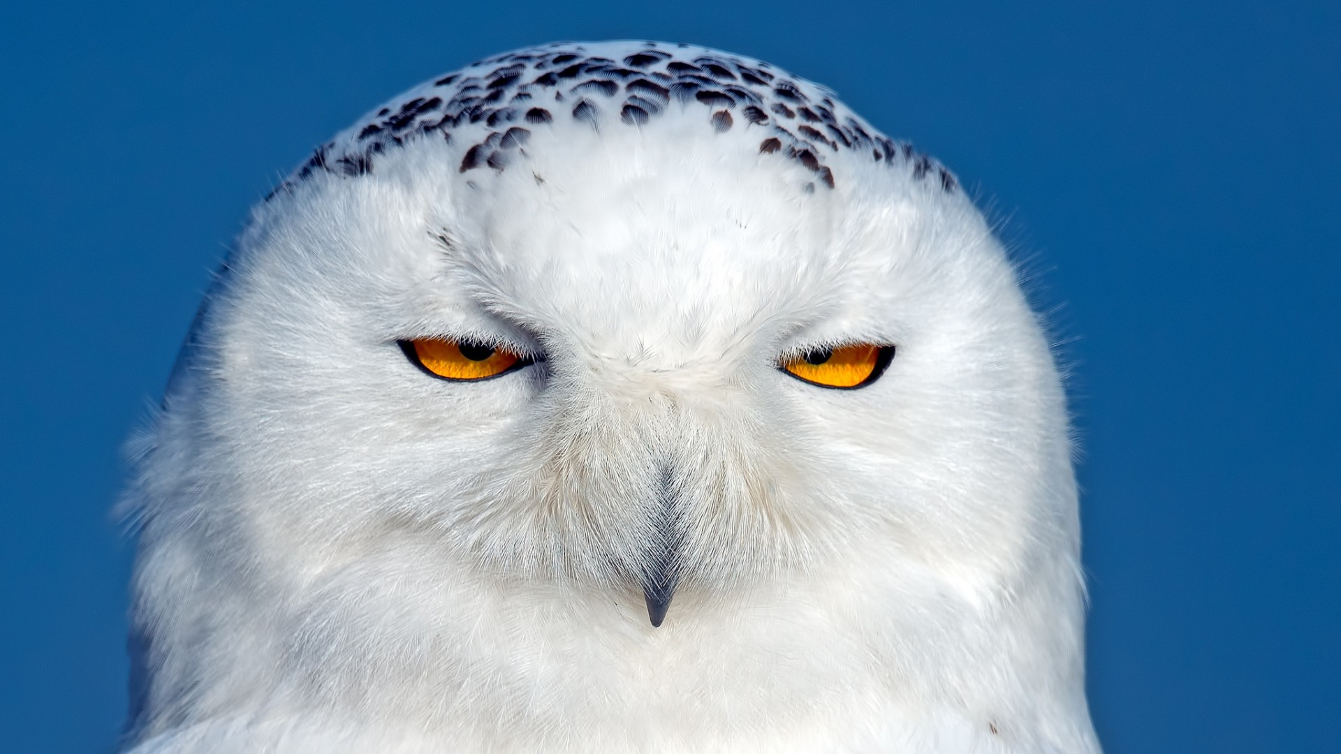 Snowy Owl Wallpapers Free