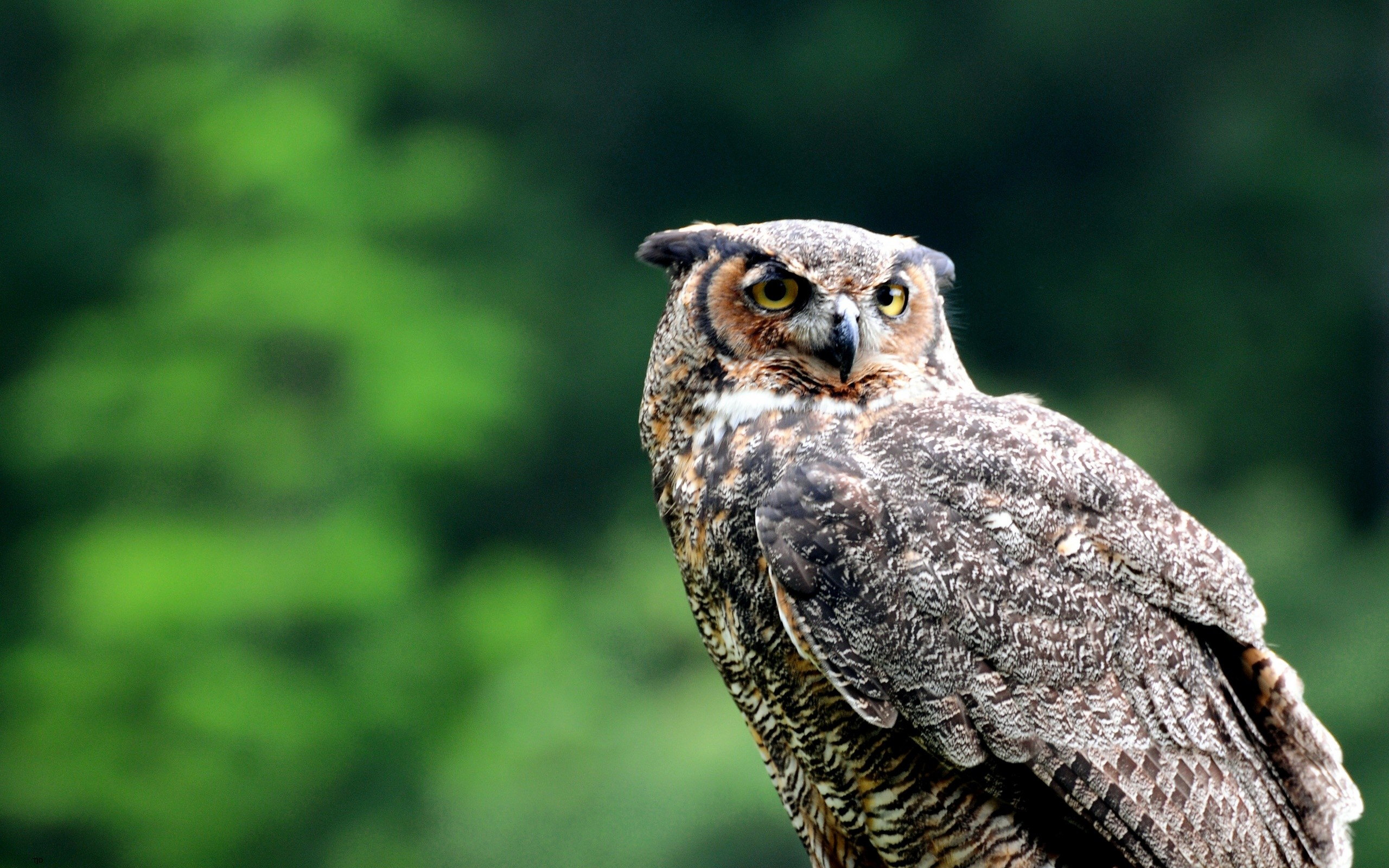 Owl Wallpapers, Owl Backgrounds, Owl Free HD Wallpapers