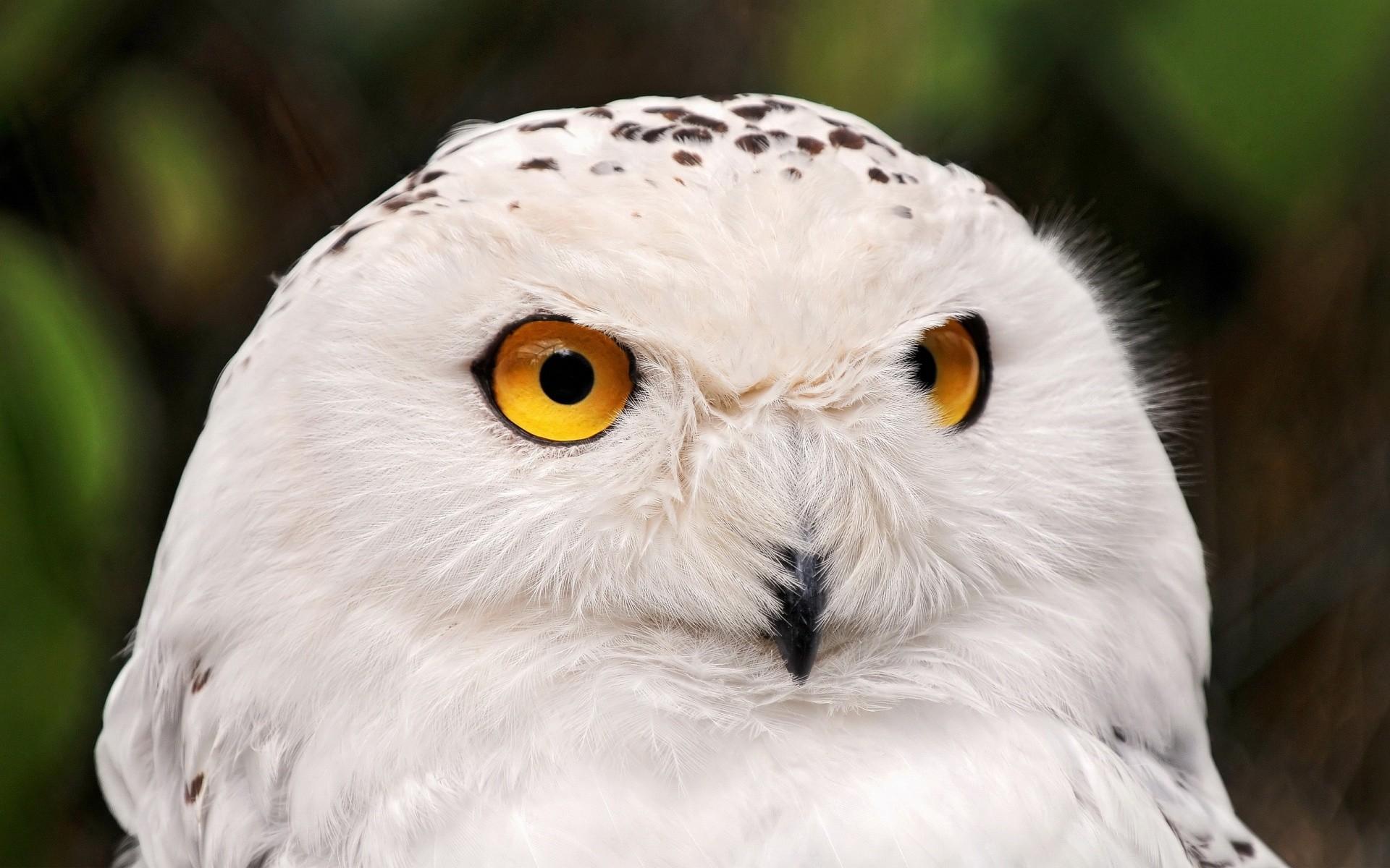 Amazing white owl wallpaper (Cooper Smith 2560 x