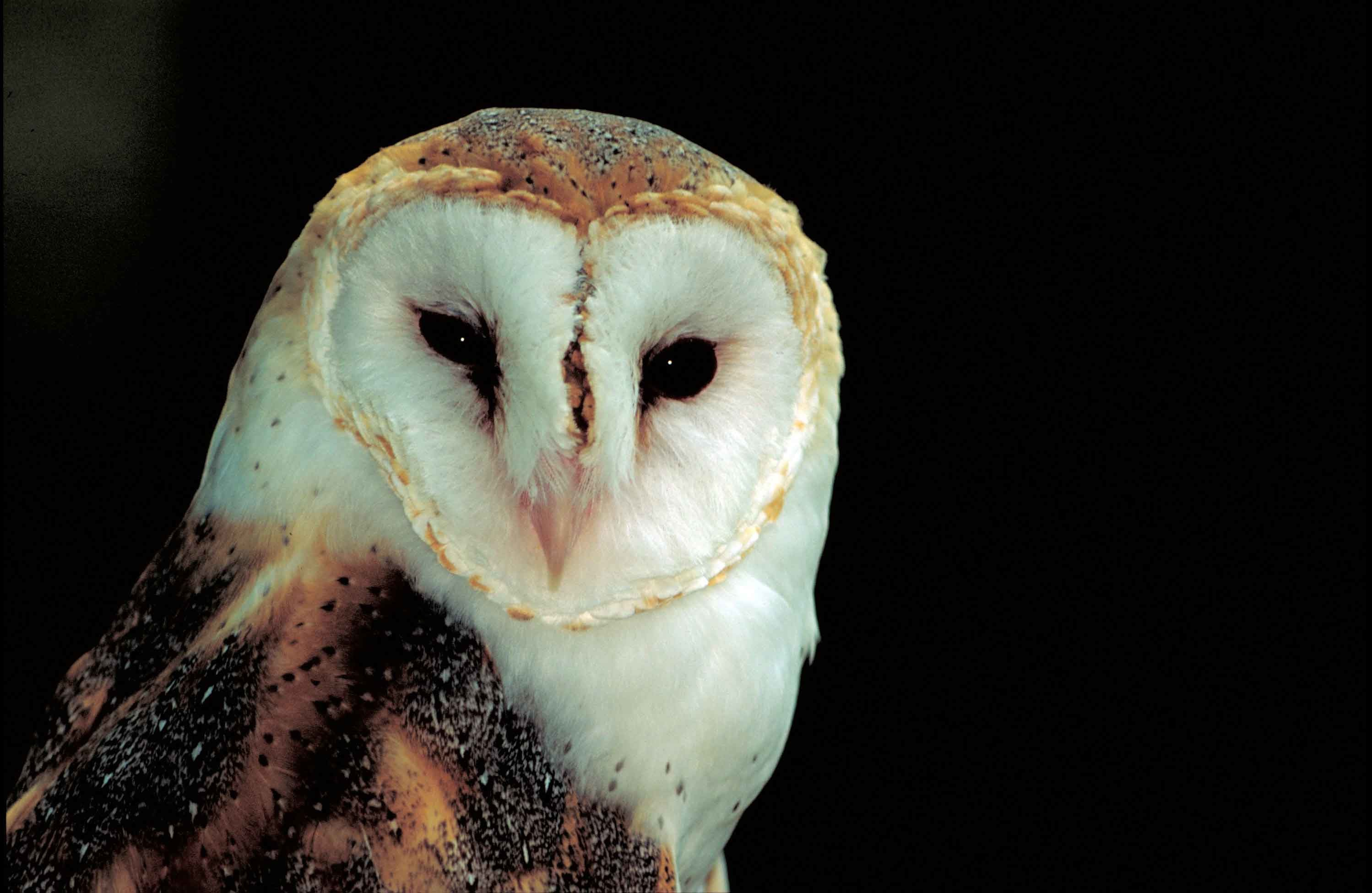 Barn Owl Wallpaper HD