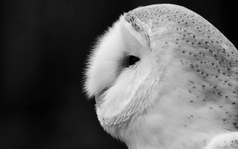 Barn Owl Black And White Mac wallpaper