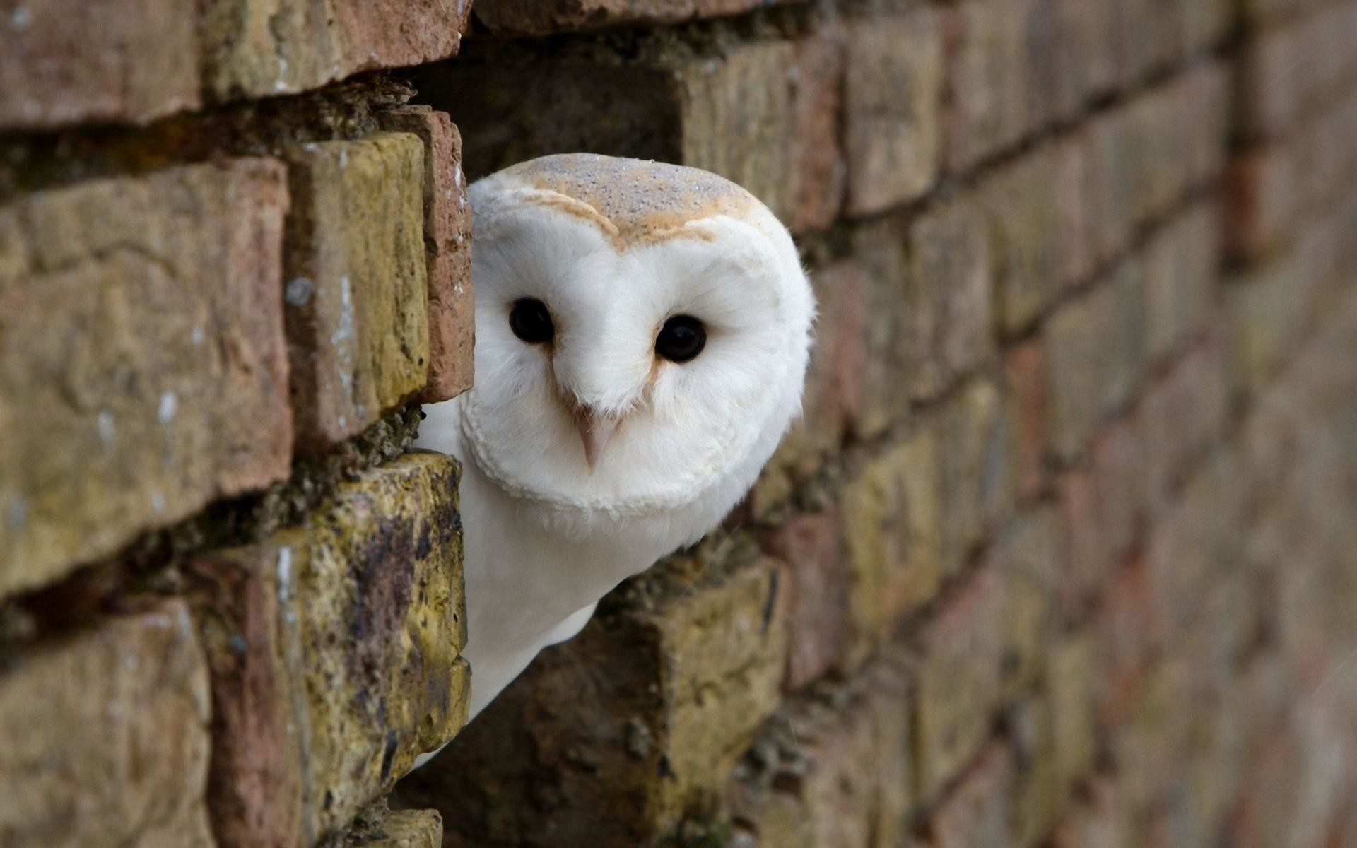 Free-download-owl-wallpapers-HD-white