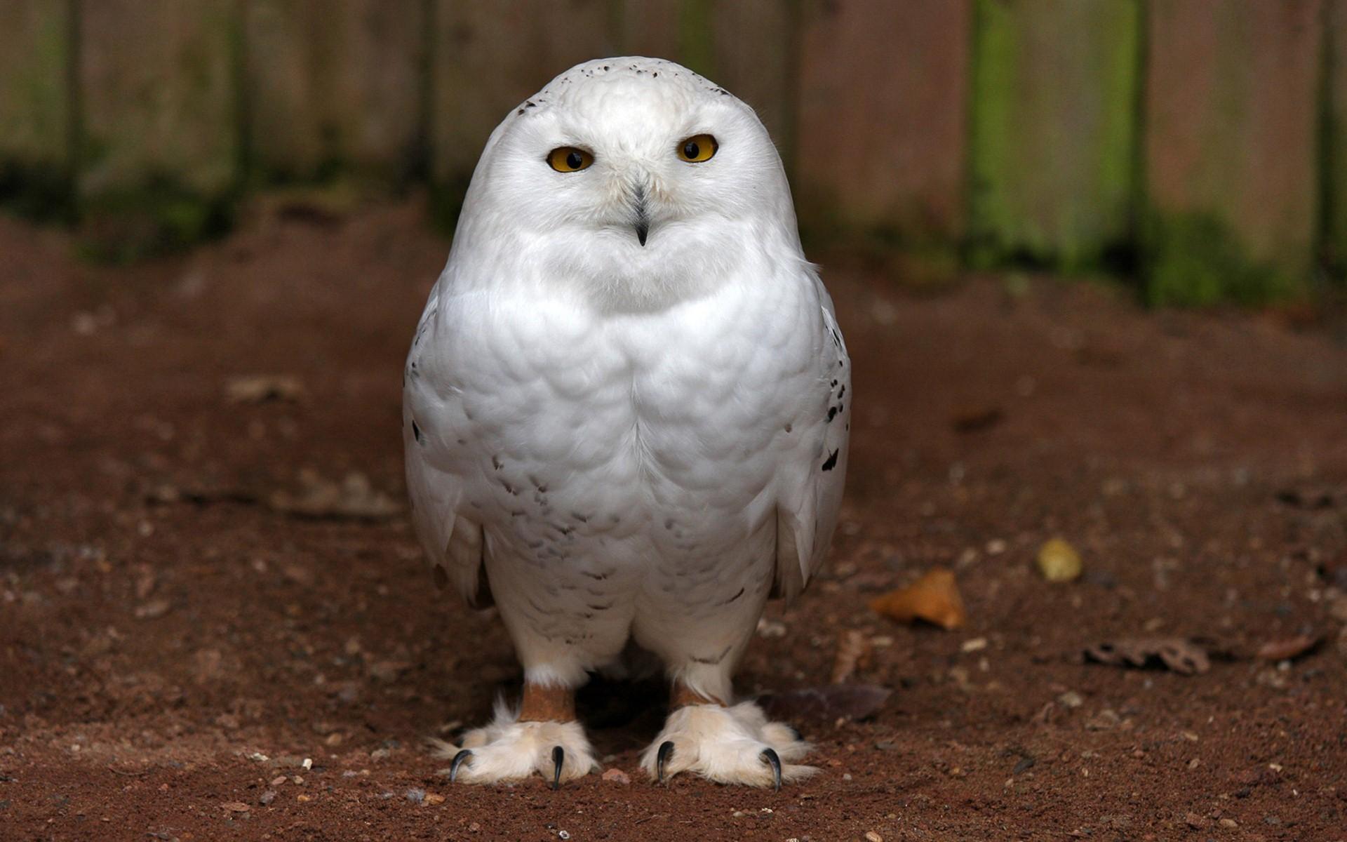 Cute white owl wallpaper full HD