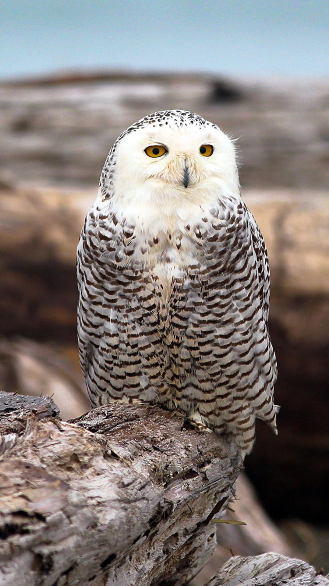 Beautiful Snowy Owl Galaxy S5 Wallpaper