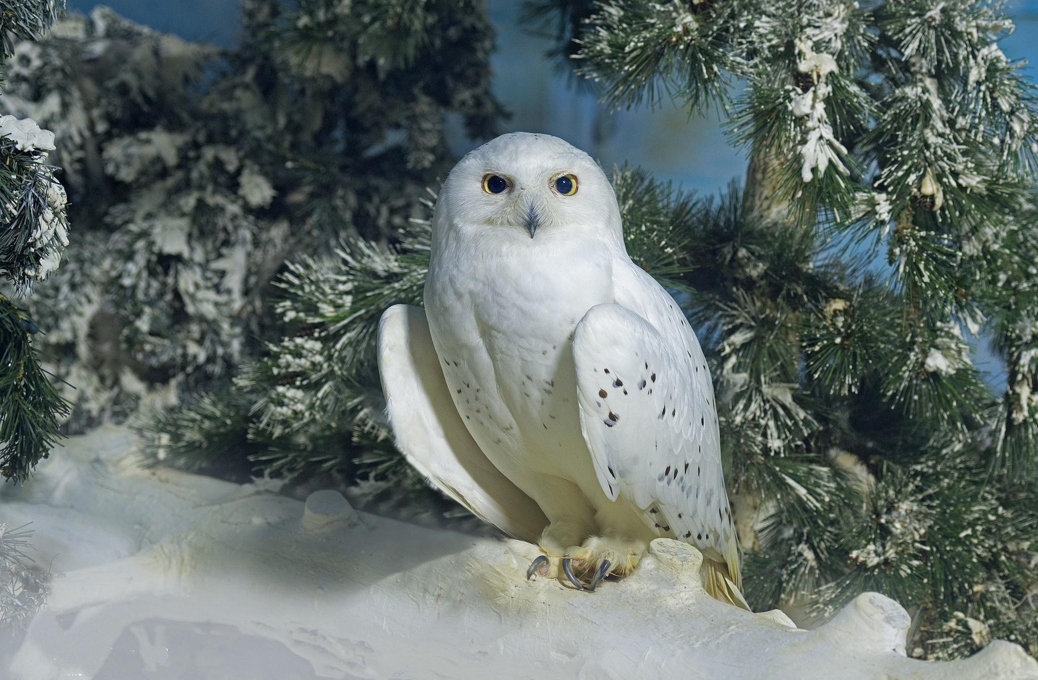 Djur – Snowy Owl Fir Tree Winter Bakgrund