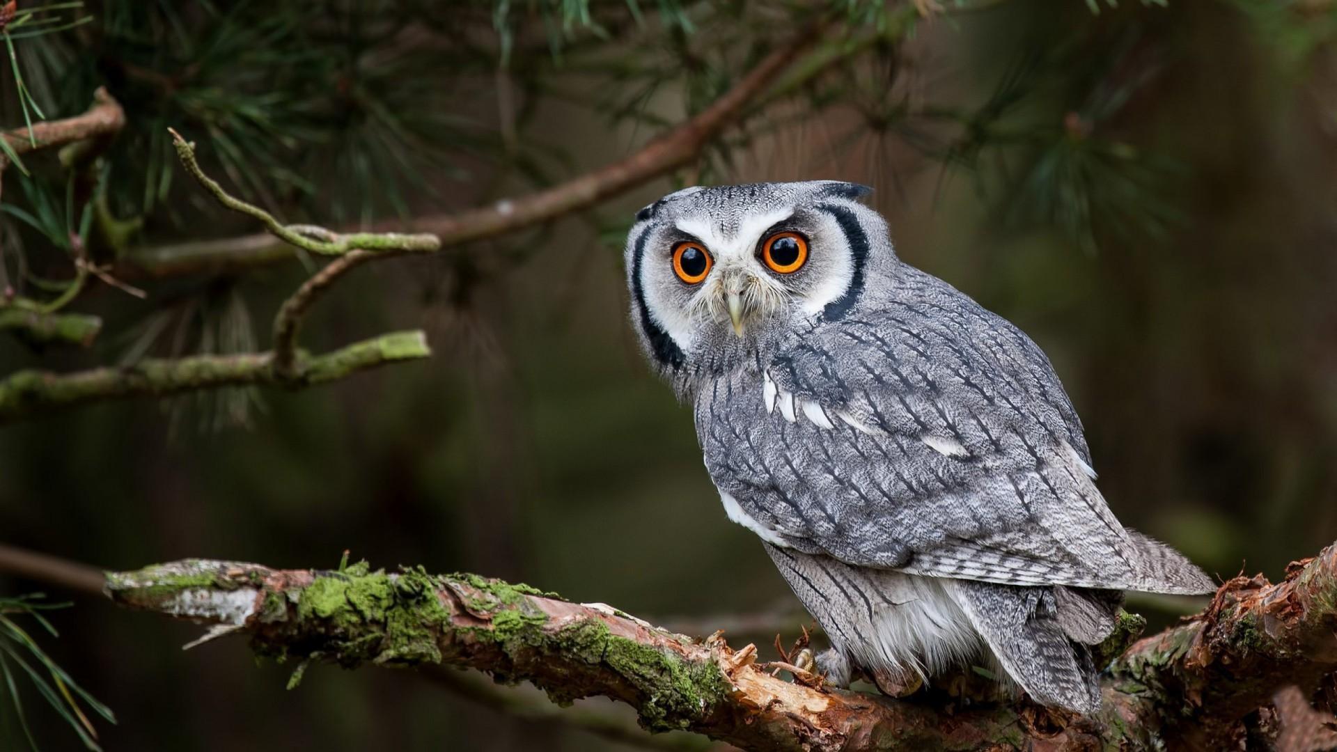 White-Owl-Backgrounds-For-desktop
