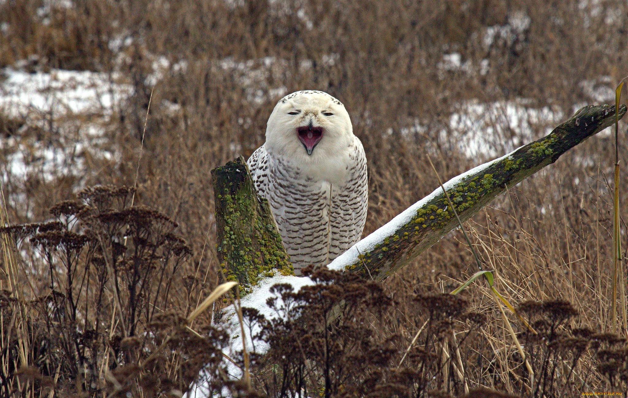 Adorable Snowy Owl Desktop Background. Download …