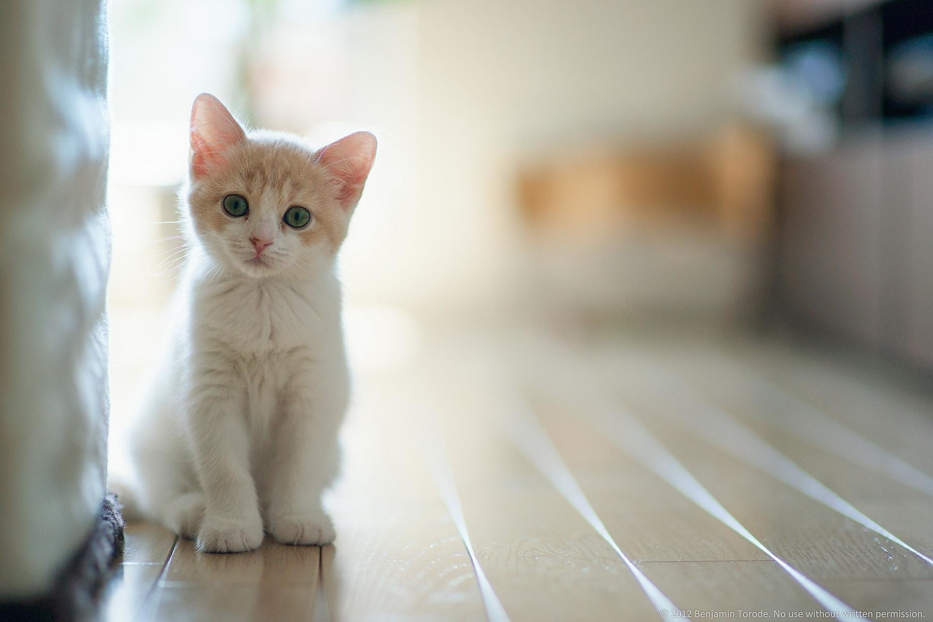 White Cat Hd Wallpapers Free Download   HD Free Wallpapers Download