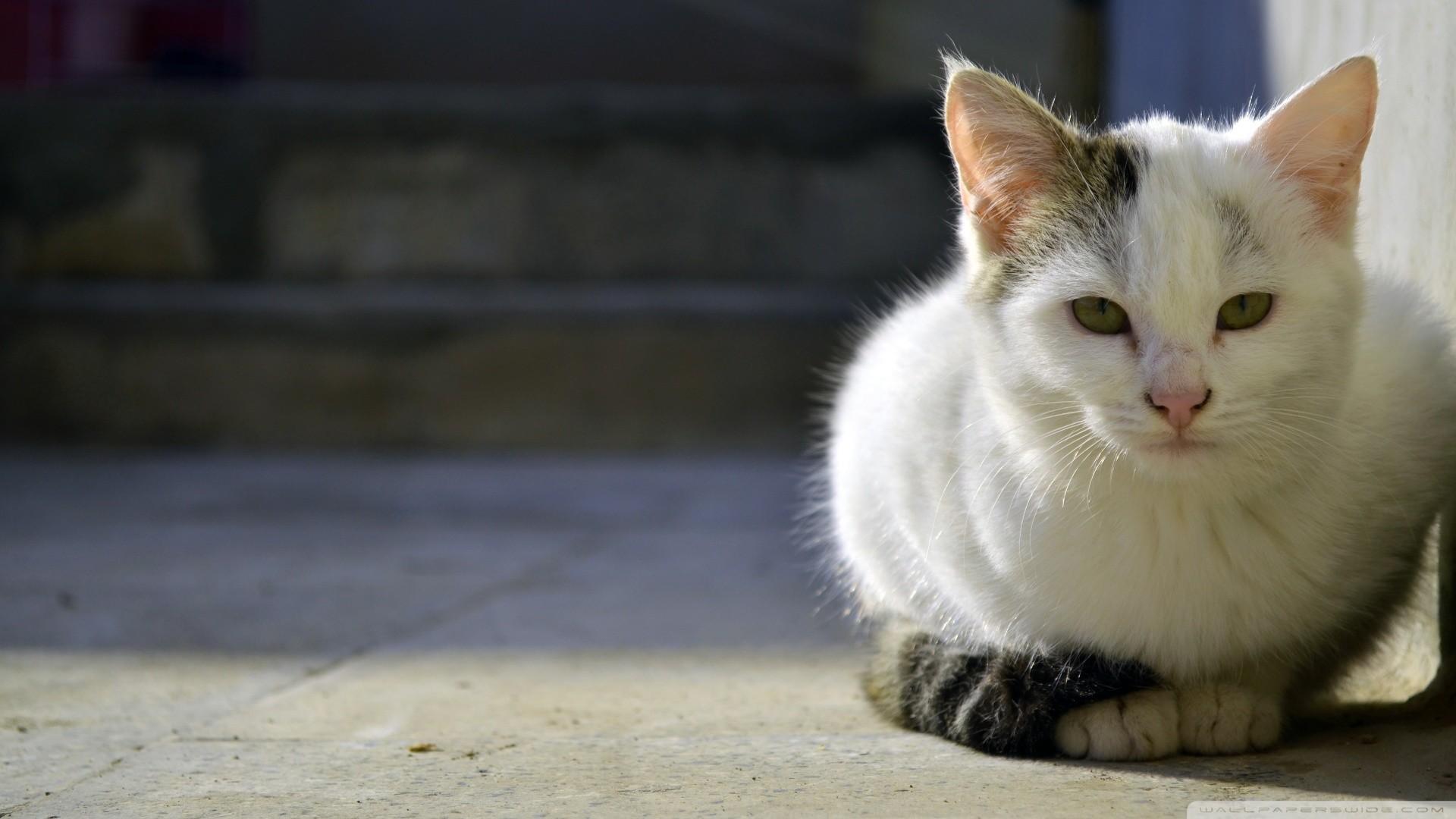 Persian Cat HD Wallpapers Backgrounds Wallpaper