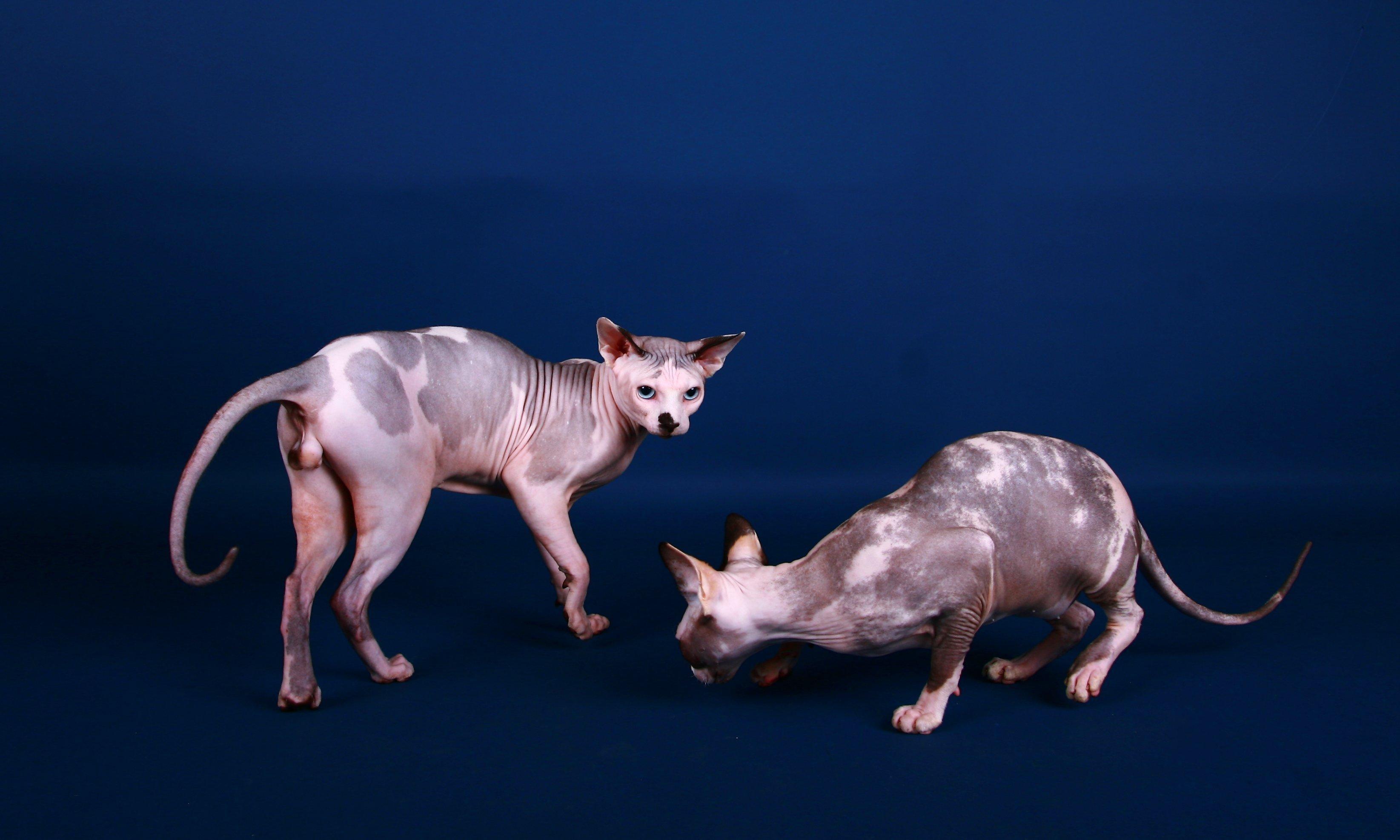 Sphynx cat wallpapers hd