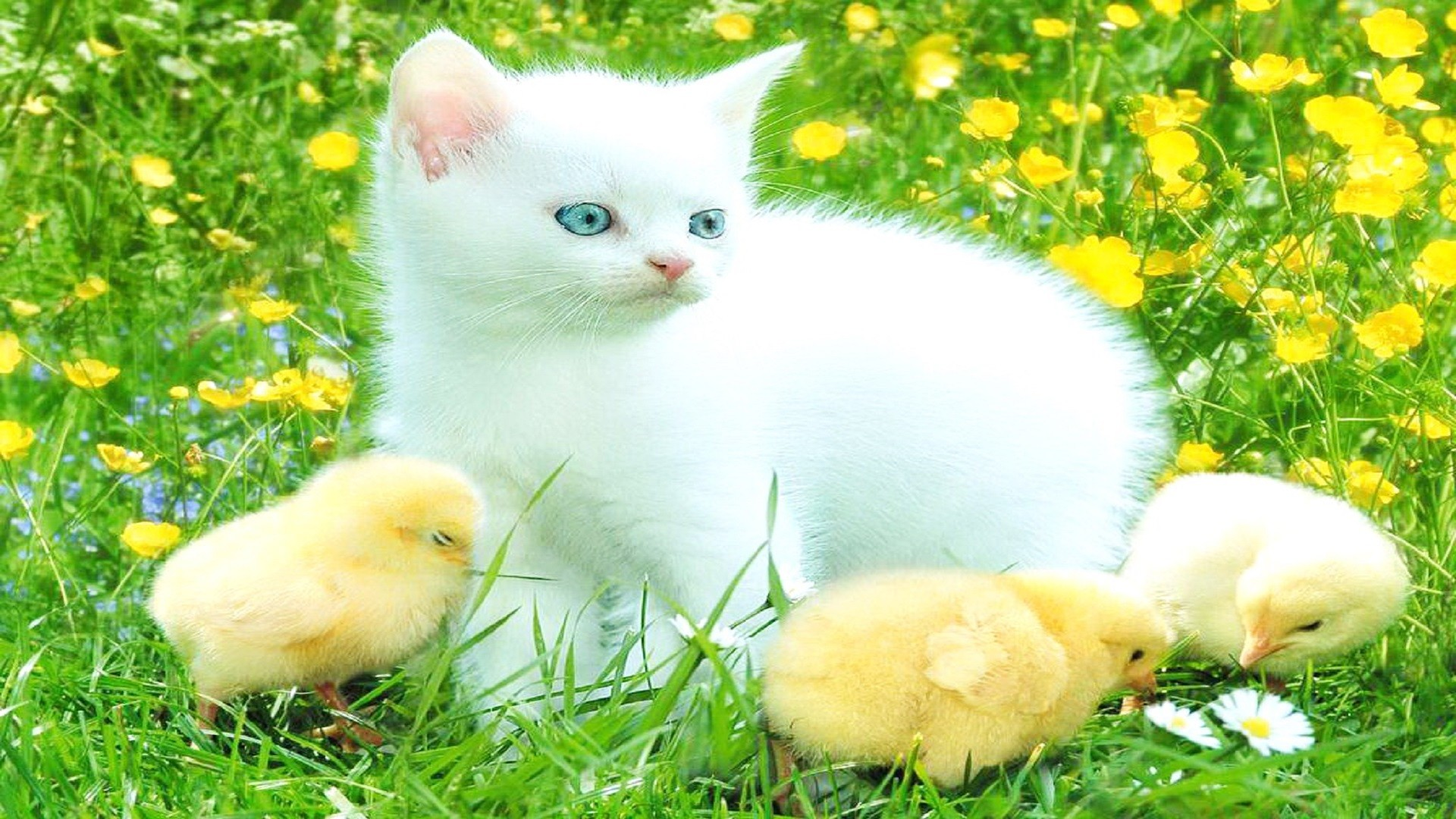 beautiful-white-cats-wallpaper-free-wallpaper-hd