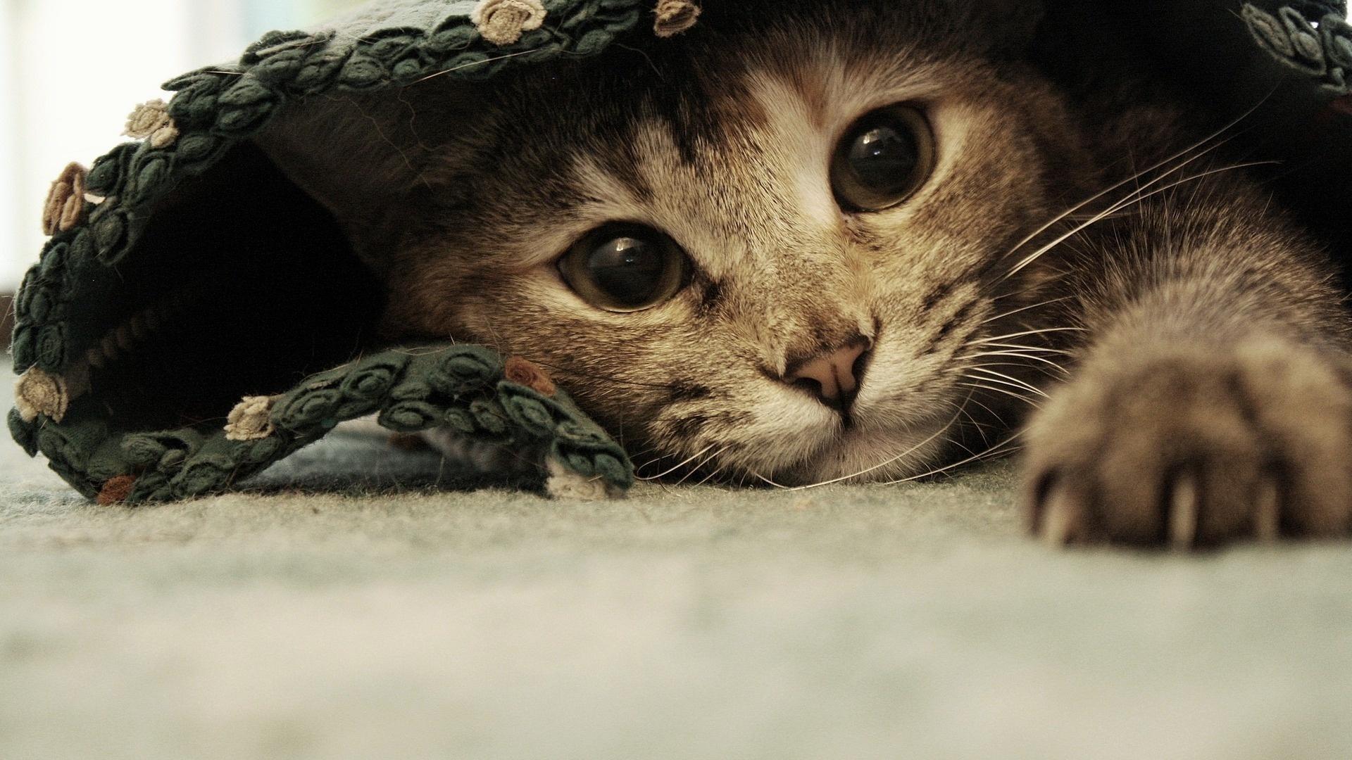 Cat-Wallpaper-Widescreen