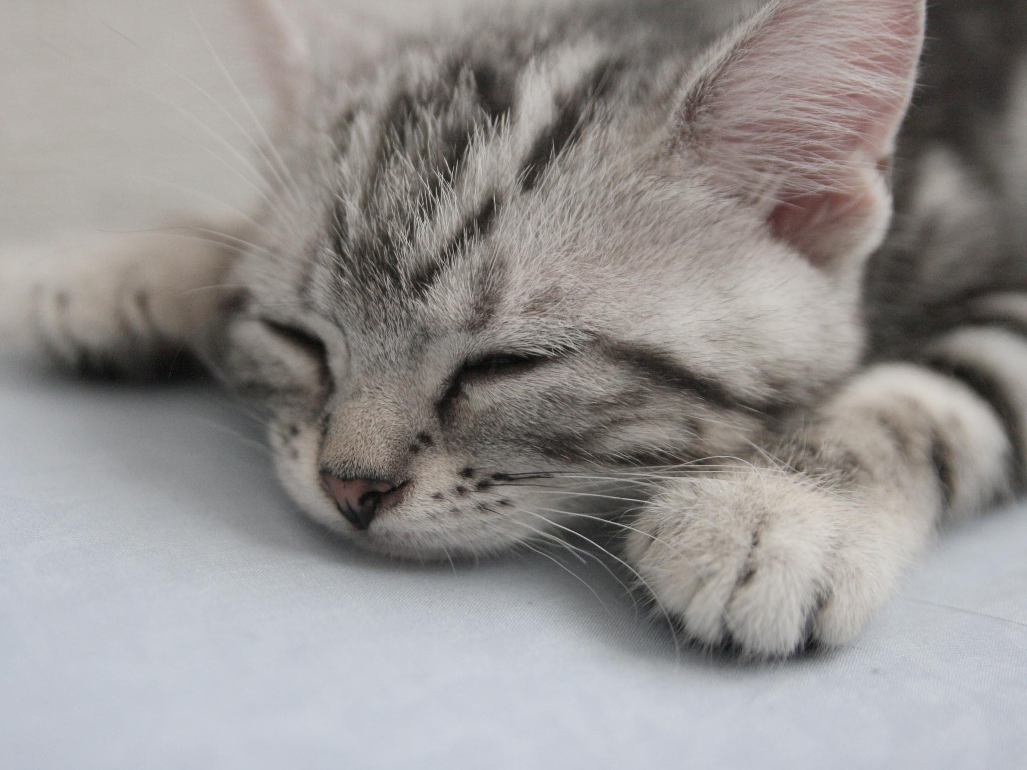grey american shorthair cat 6 Funny Cat Wallpapers