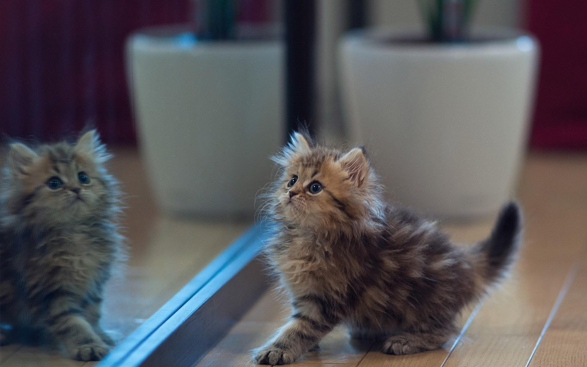 Kitten Mirror HD Wallpaper – FreeHDWalls