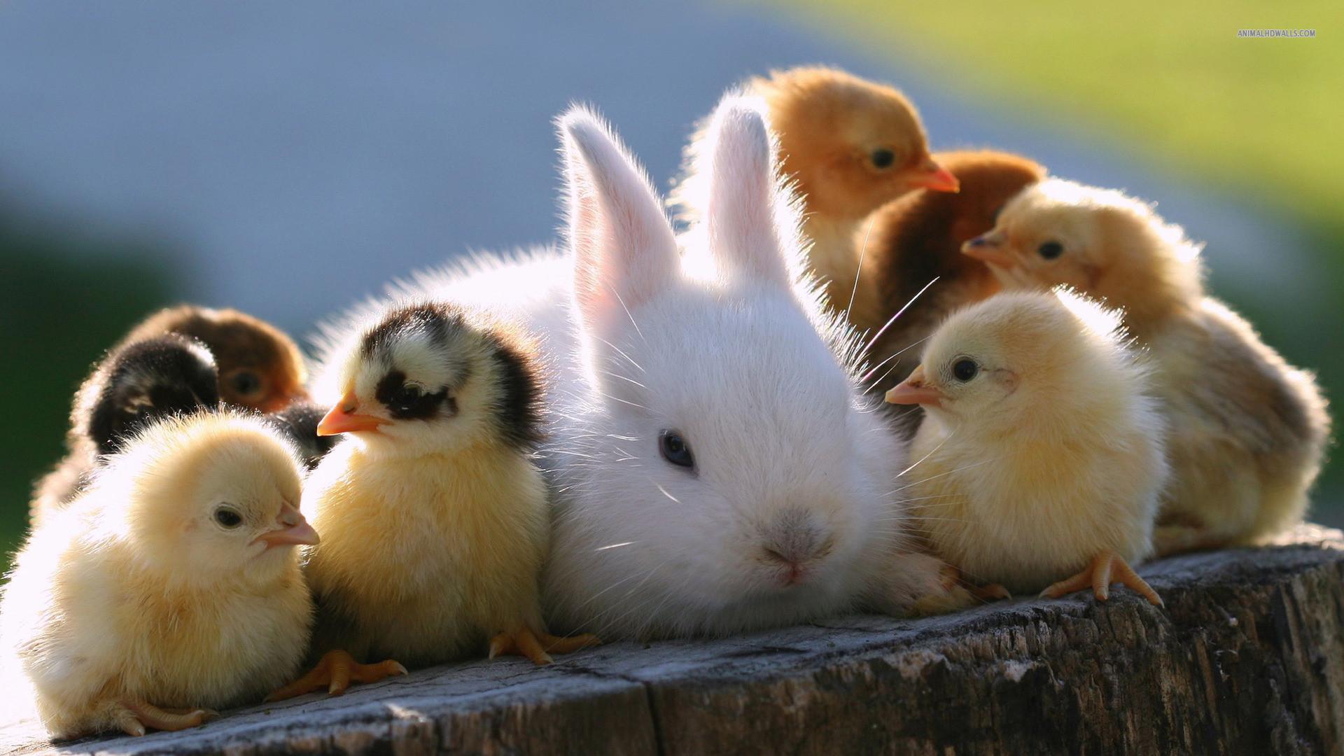 Fun Rabbit Animals Wallpaper Screensaver Wallpaper with .