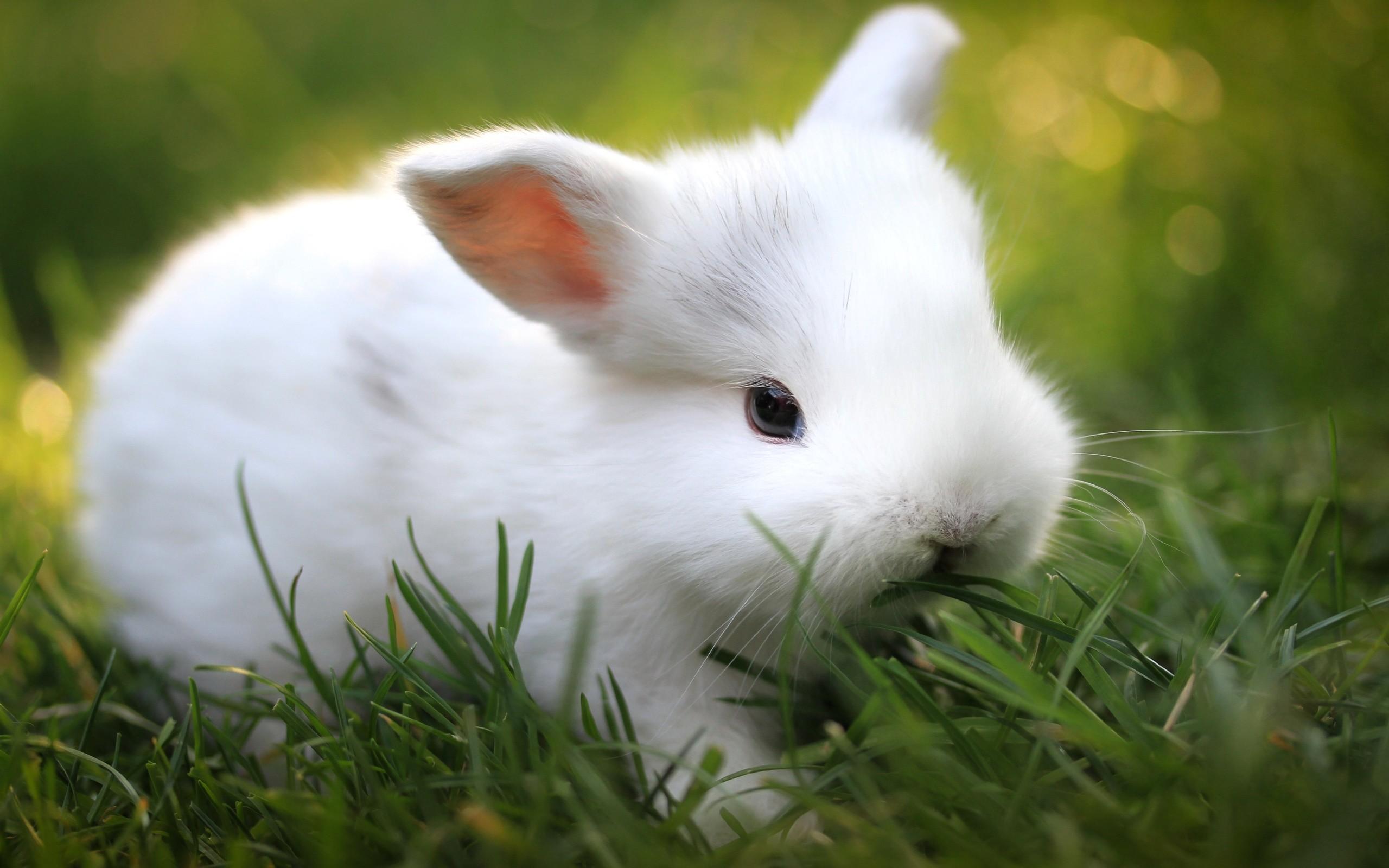 Cute little White Rabbit HD Wallpaper