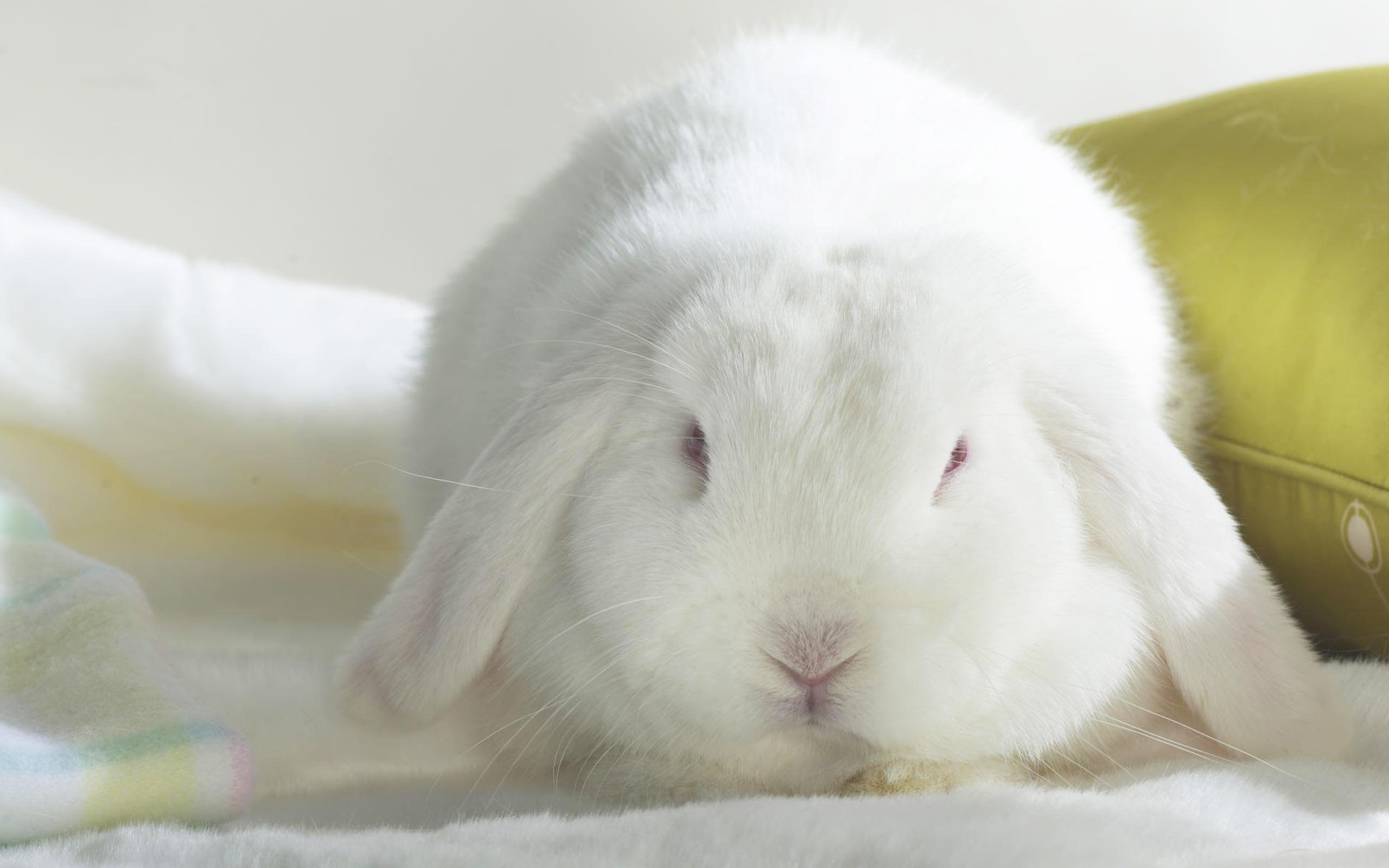 White Bunny Desktop hd Wallpaper   High Quality Wallpapers,Wallpaper .