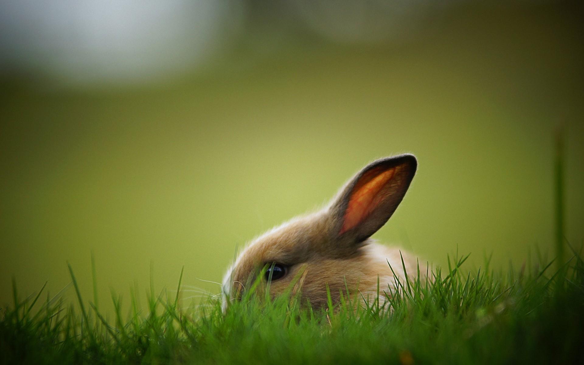 Wallpapers ⇒ Animals ⇒ Rabbit Wallpaper