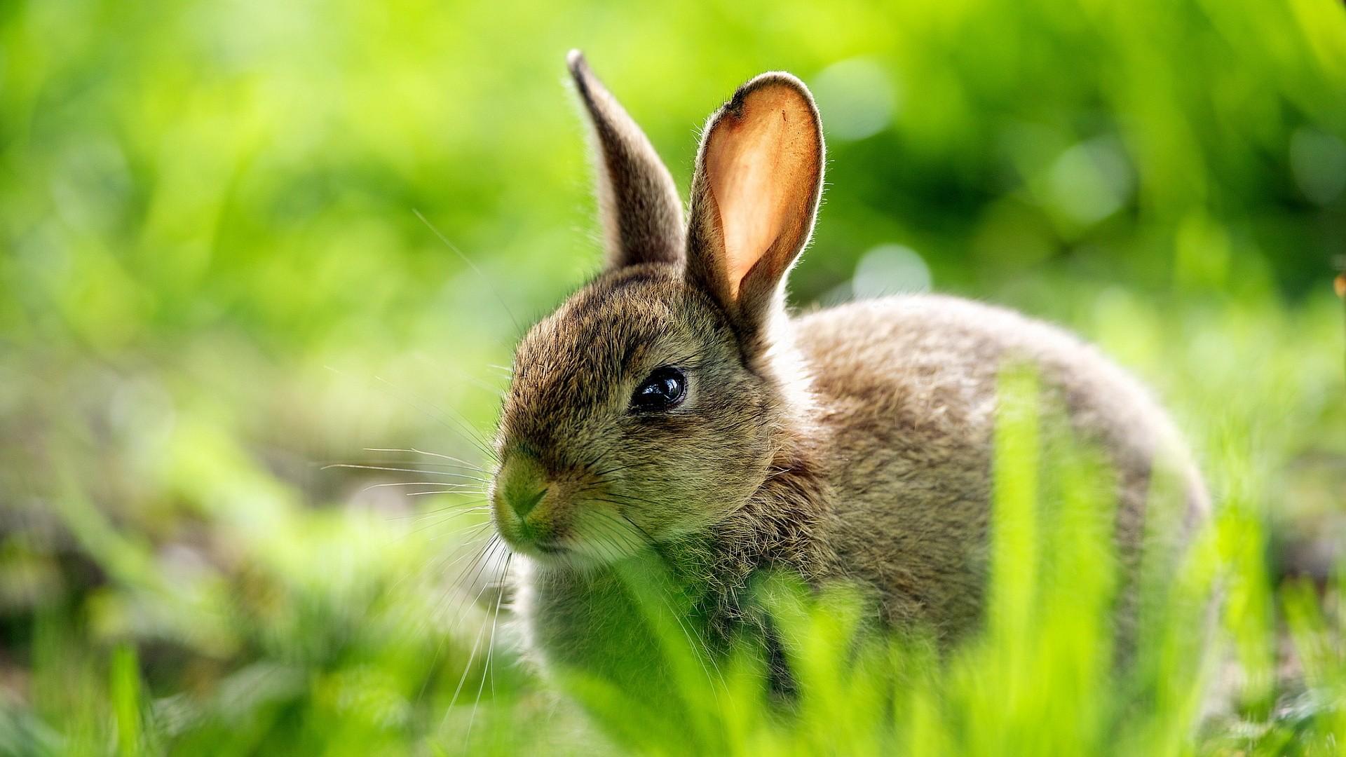 Rabbit Wallpapers Desktop HD Background