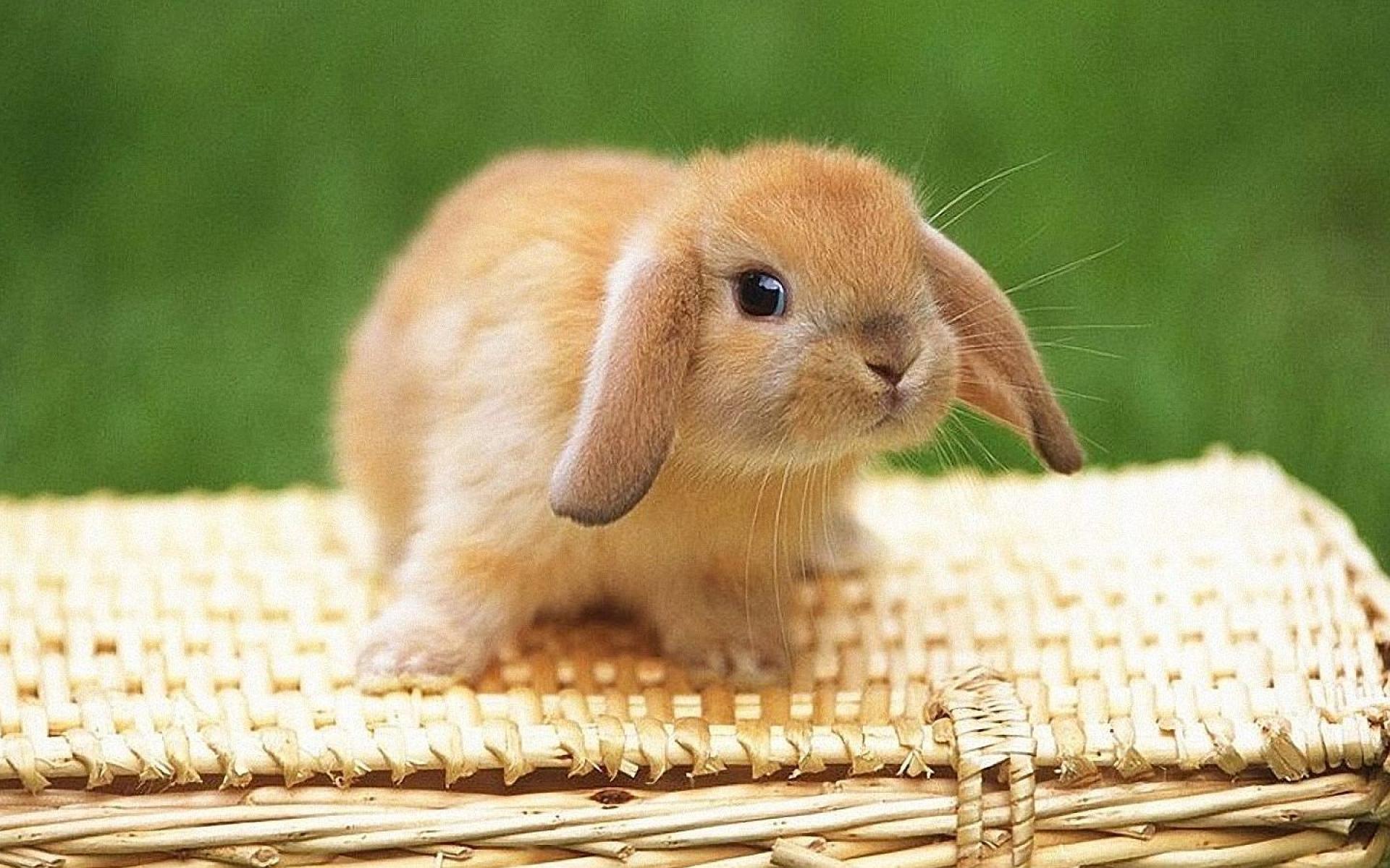 Bunny Macro Wallpaper Hd 1920x1200PX ~ Wallpaper Bunnies #8792