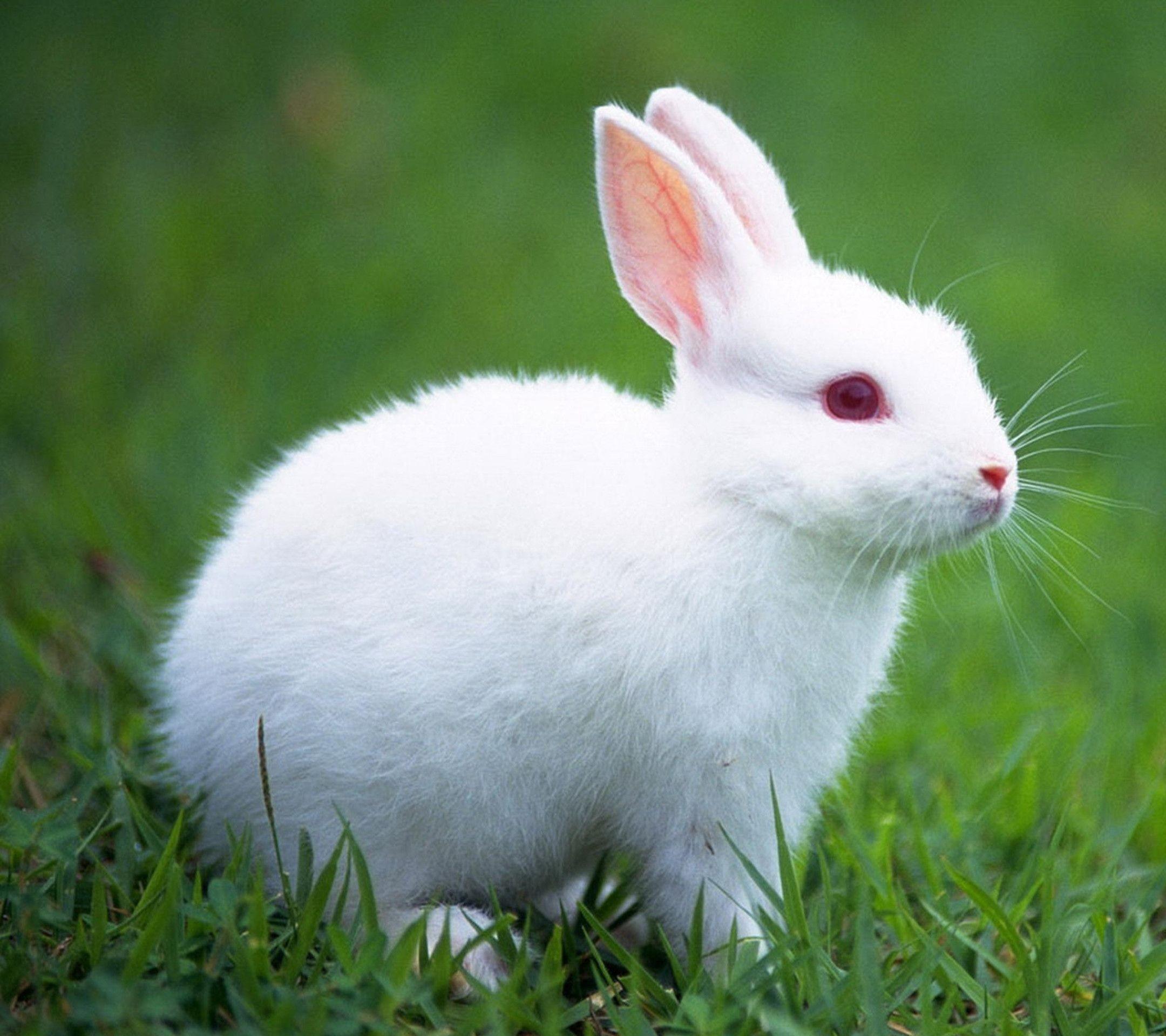Cute White Baby Rabbit Wallpaper 19291 Baltana
