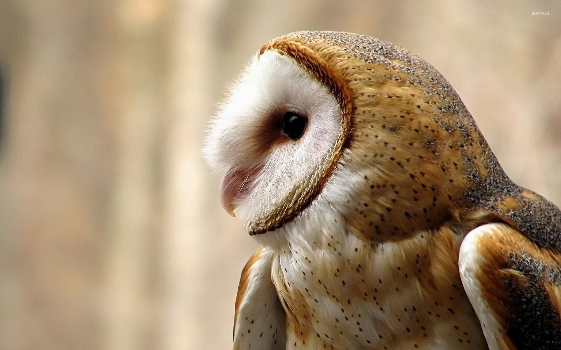 Barn owl wallpaper – photo#5