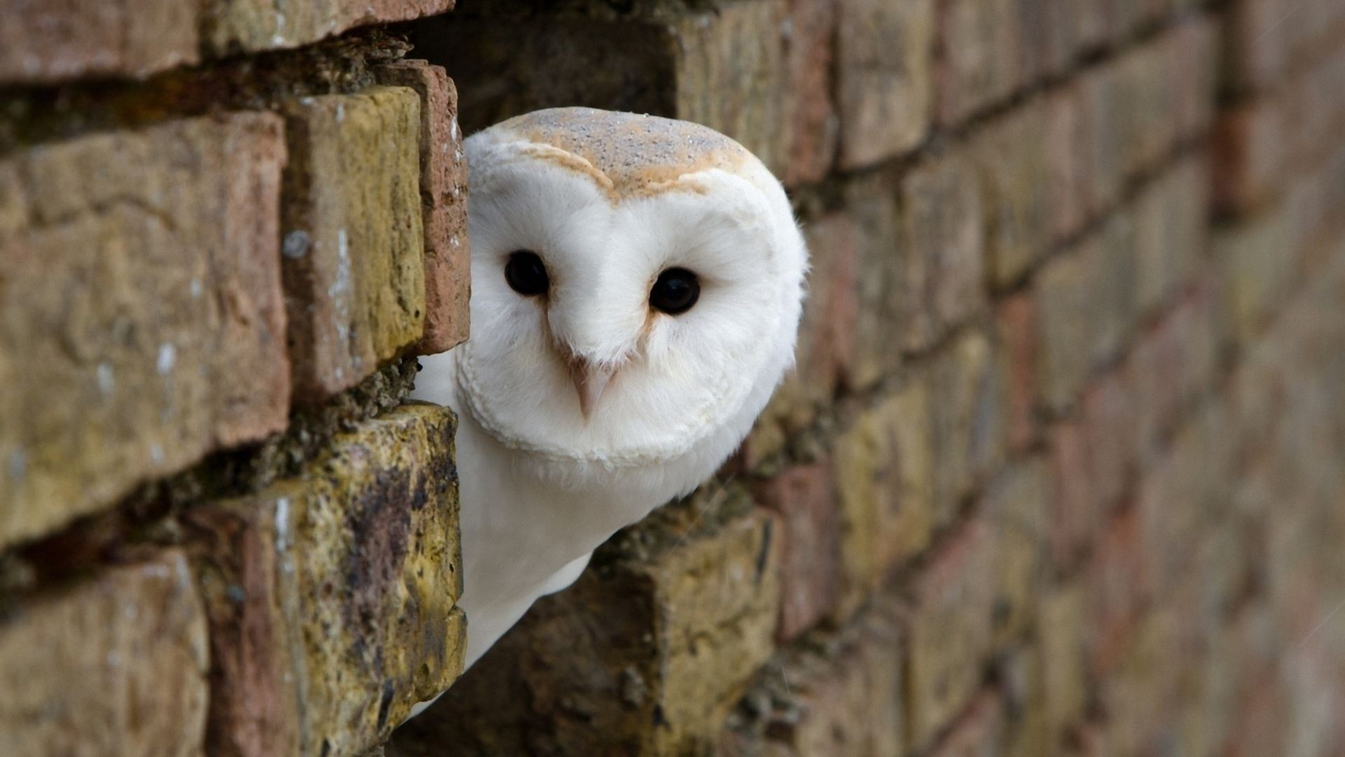 Owl HD Wallpapers Backgrounds Wallpaper 1366×768 White Owl Wallpapers (42  Wallpapers)  