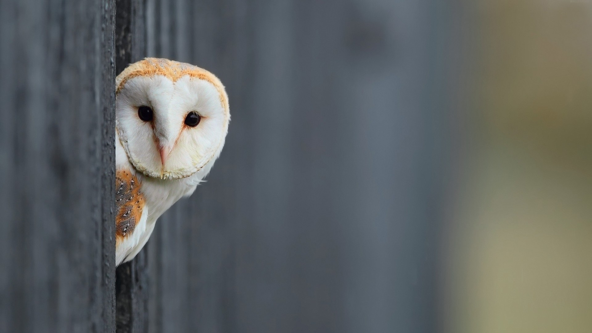 Owl HD Wallpapers Earth Blog 1024×576 White Owl Wallpapers (42 Wallpapers)  