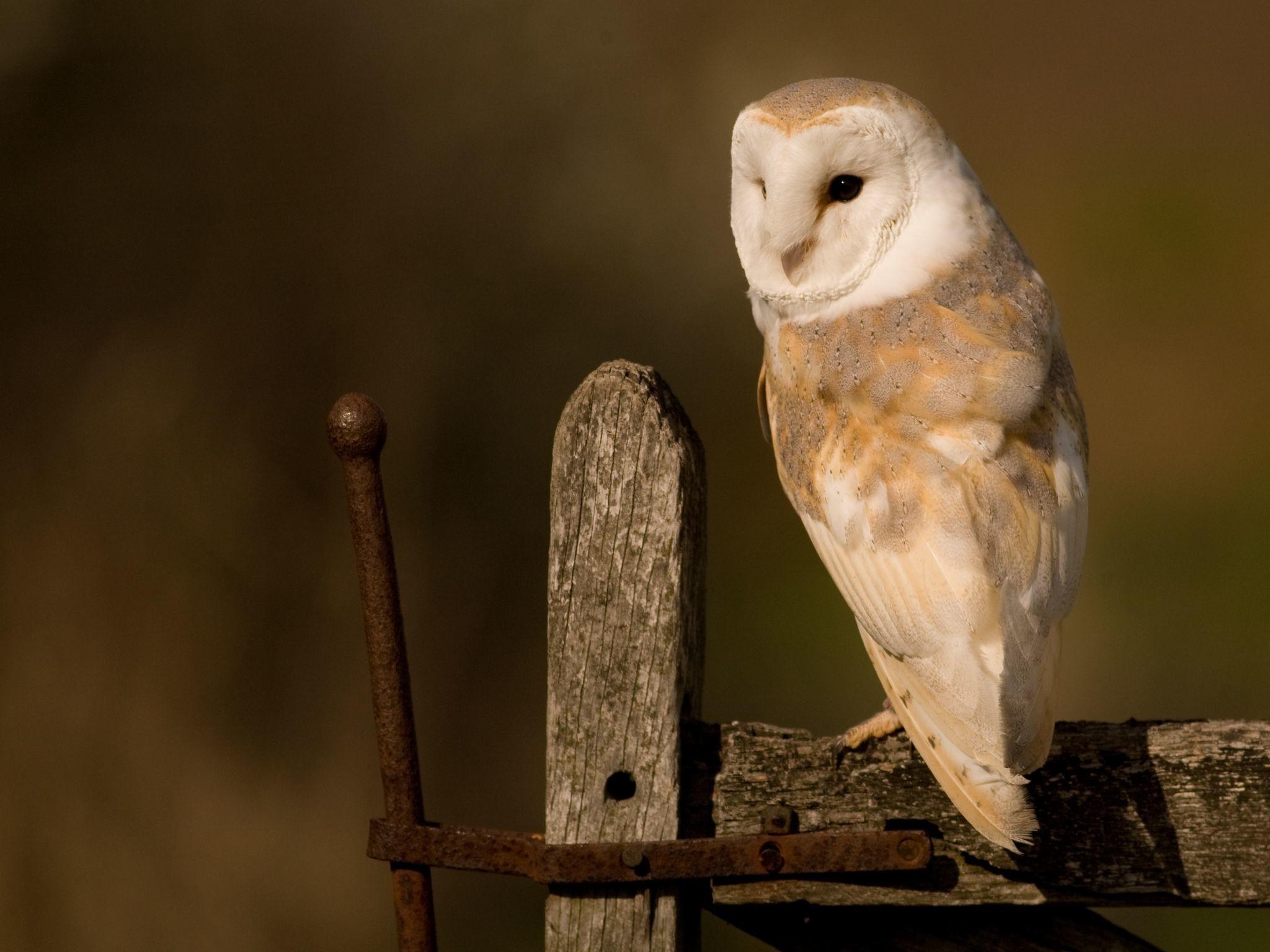 Owls Wallpaper Desktop – WallpaperSafari
