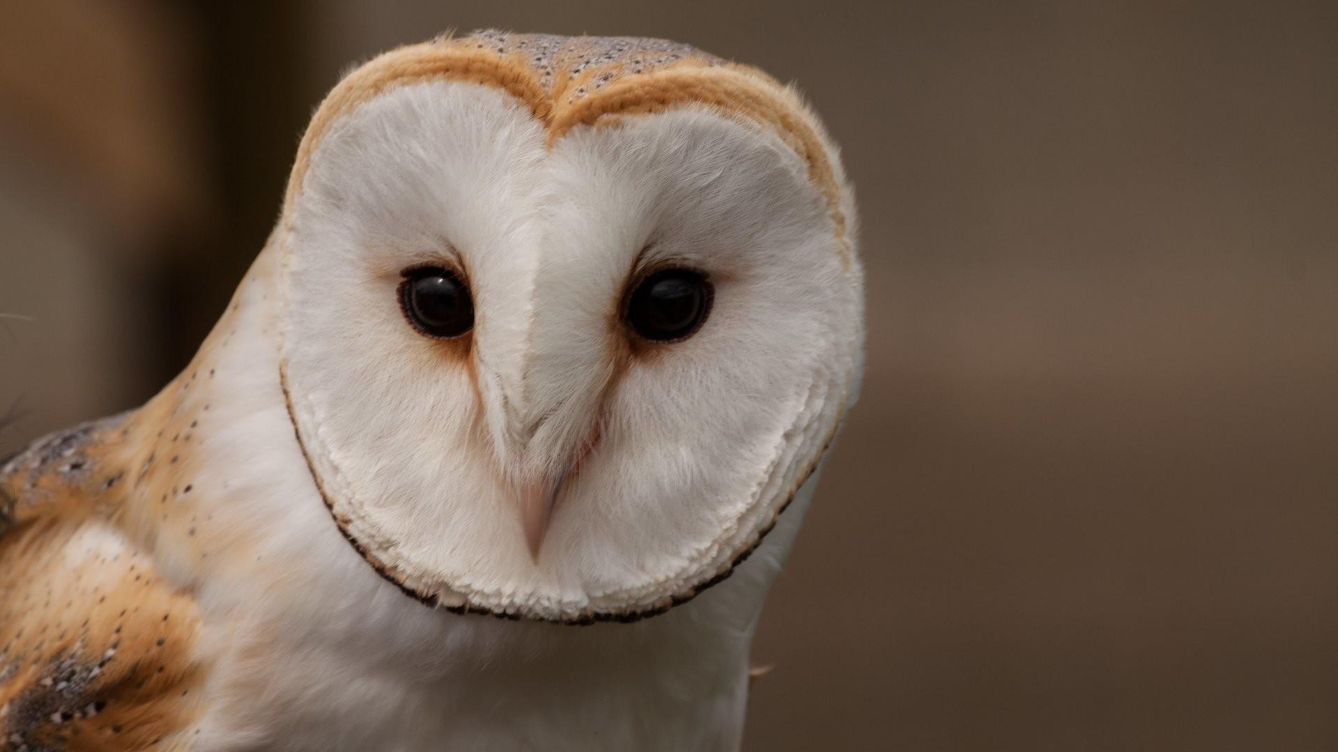 4K HD Wallpaper: Barn Owl