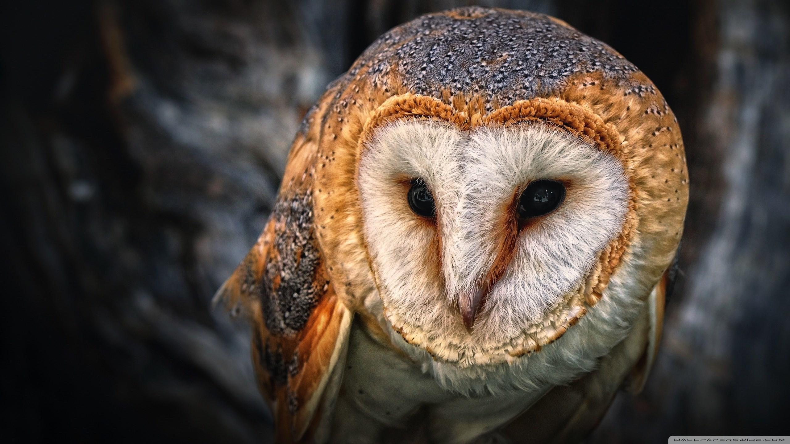 wallpaper images barn owl