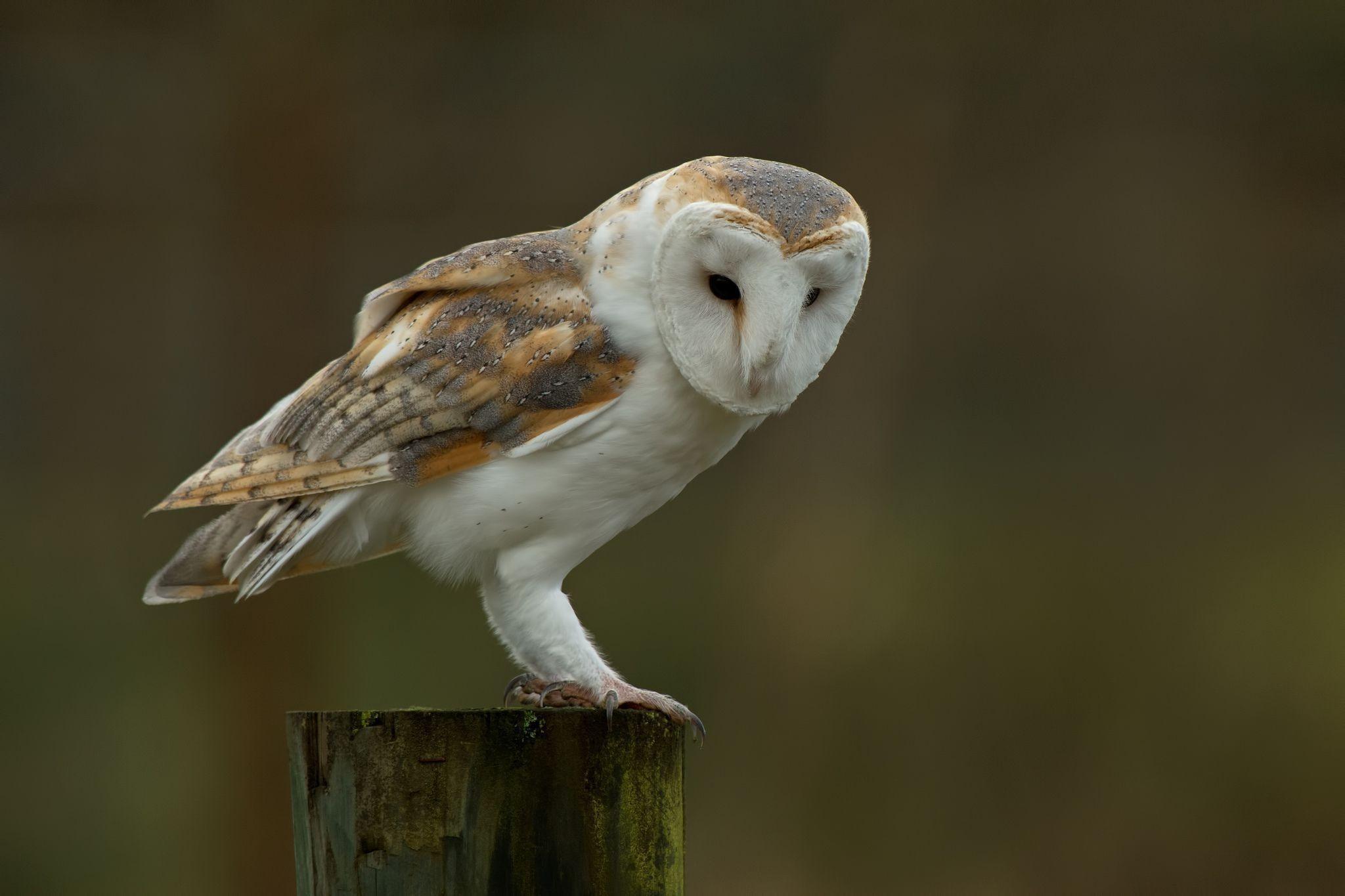 … Barn Owl Desktop Wallpaper …