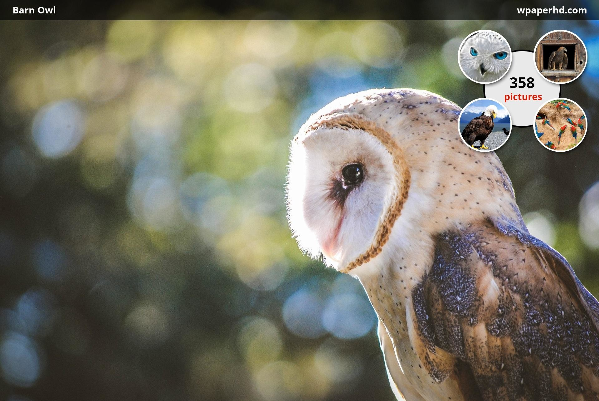 You are on page with Barn Owl wallpaper, where you can download this  picture in Original size and …