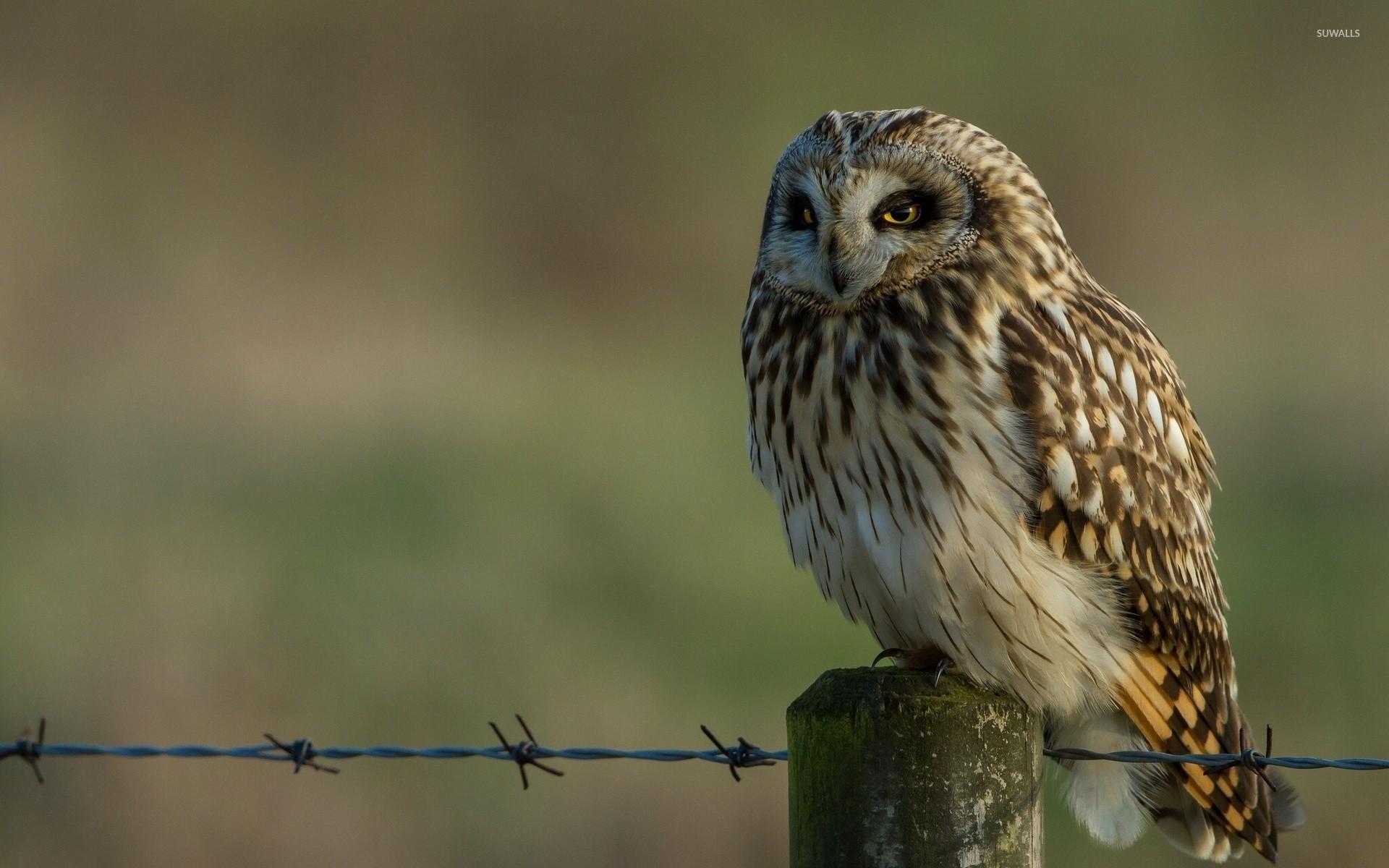 Barn owl [2] wallpaper