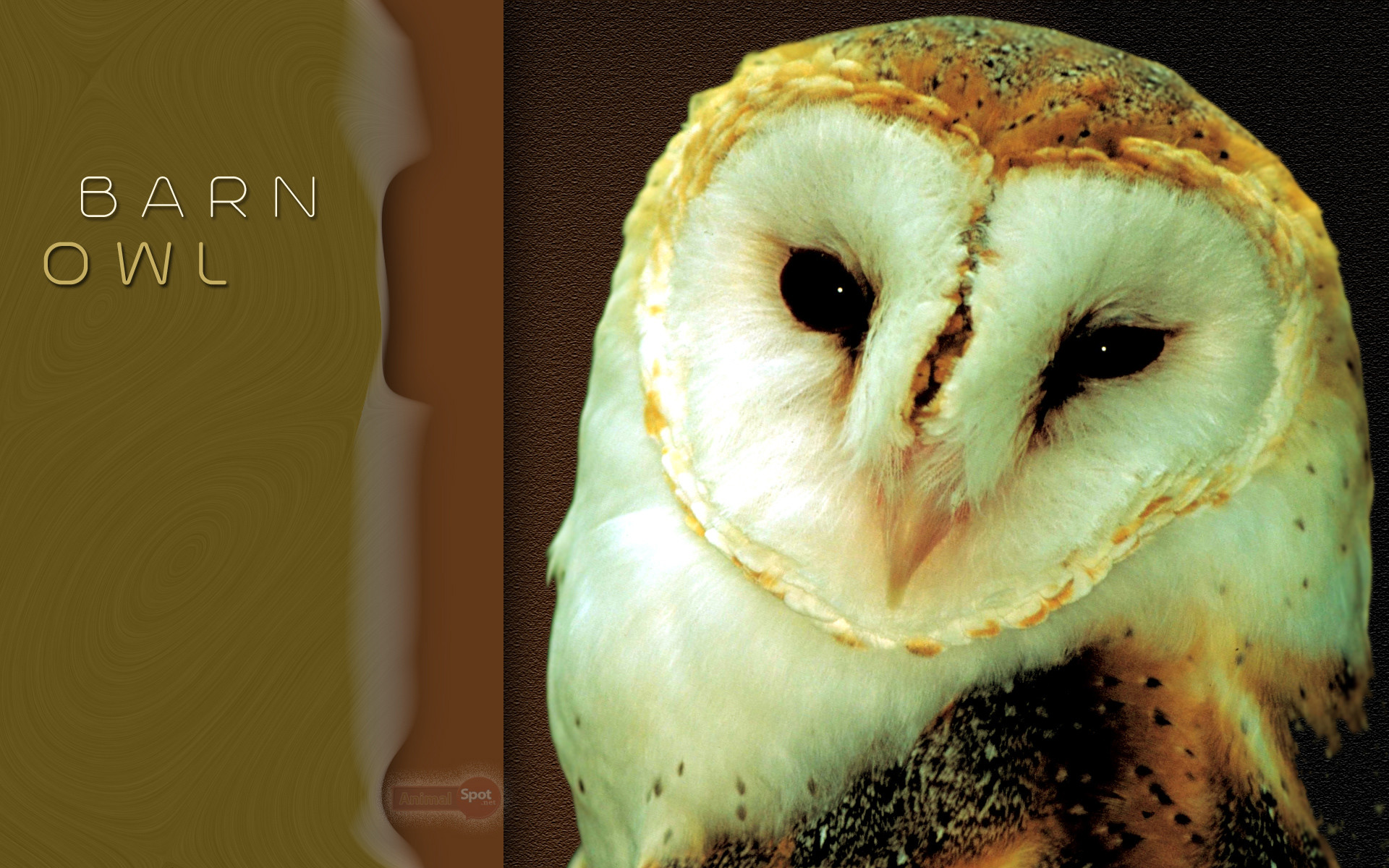 Best Owl Wallpapers and Backgrounds. Barn Owl Wallpaper