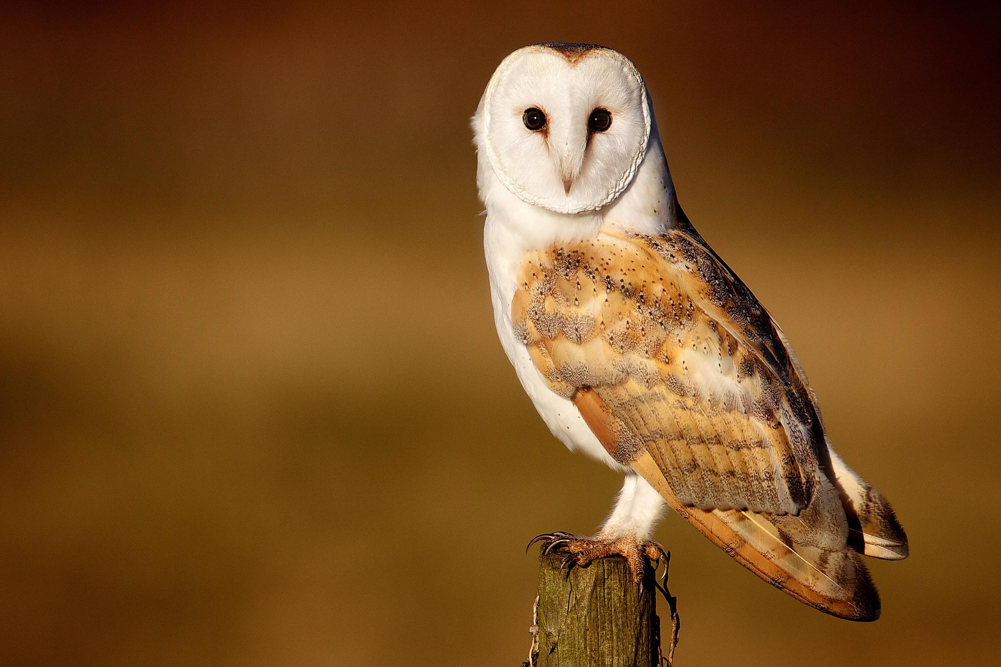 Owl · Barn Owl Bird Wallpaper …