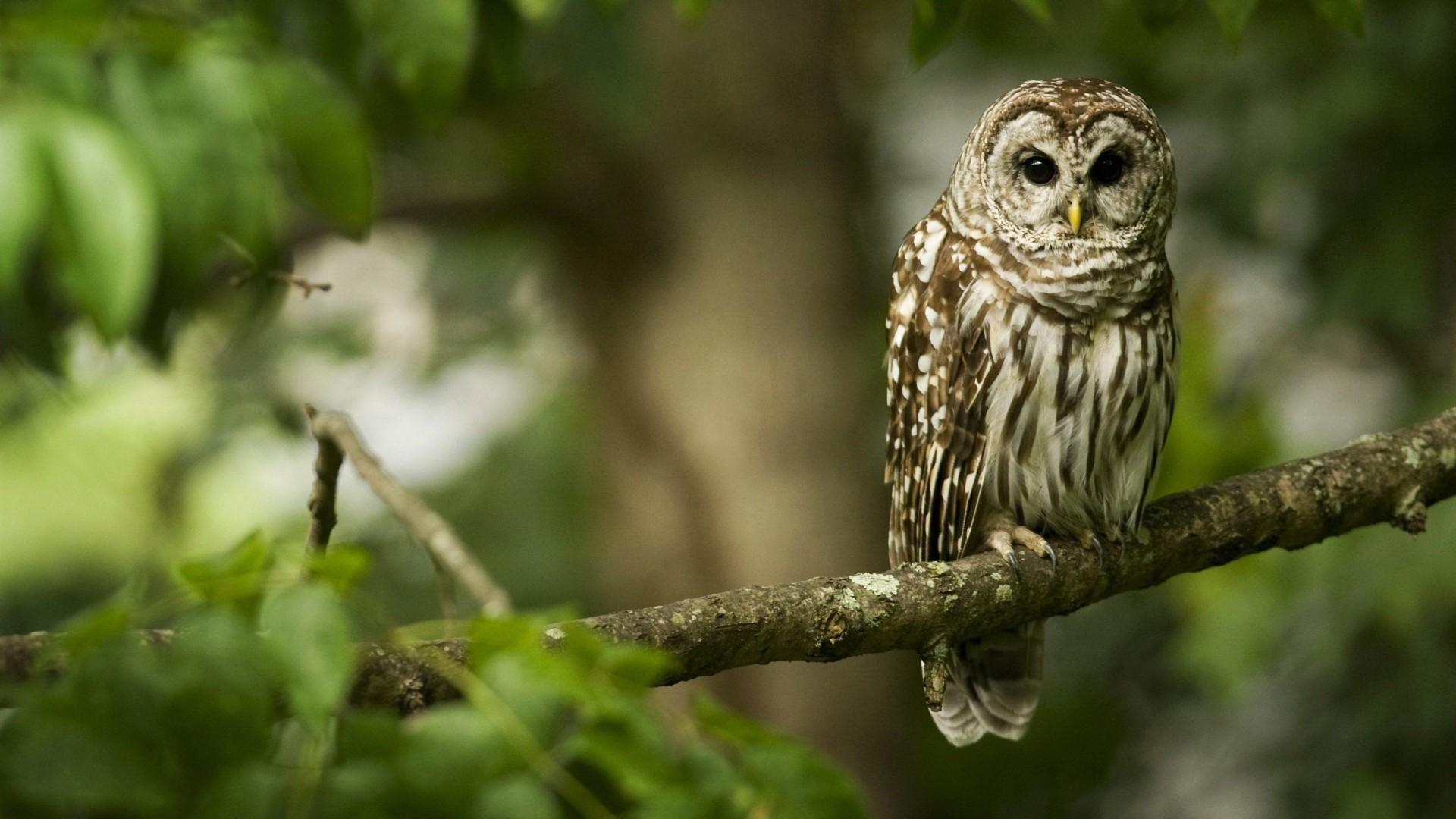 Barn Owl Bird Wallpaper