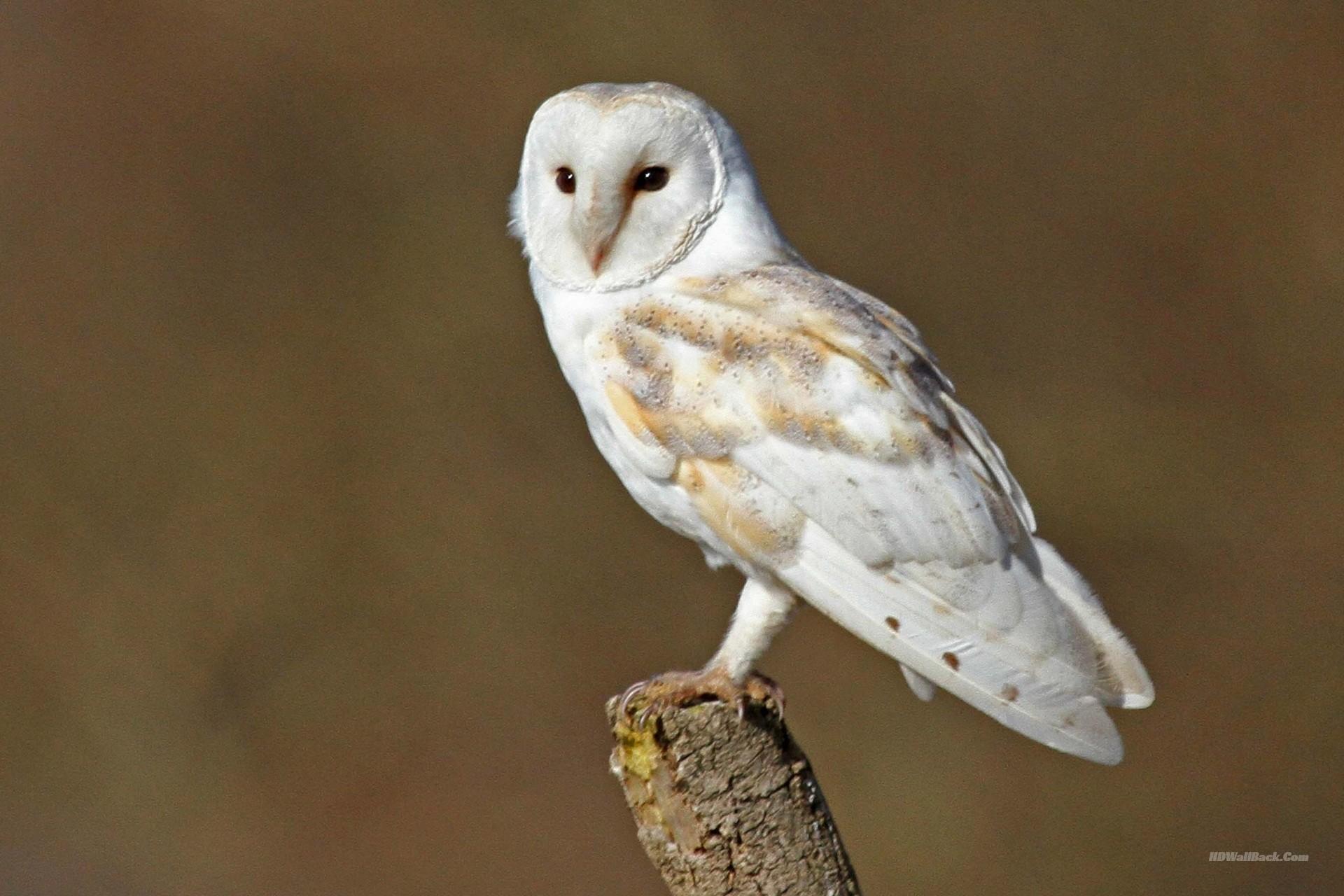 White Barn Owl Wallpaper. Â«Â«