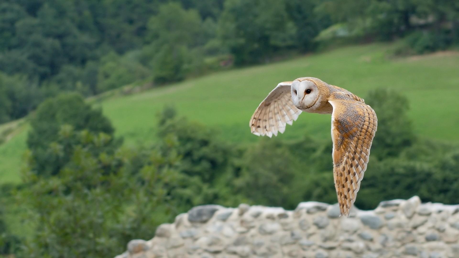 Barn Owl Wallpaper 1920×1080