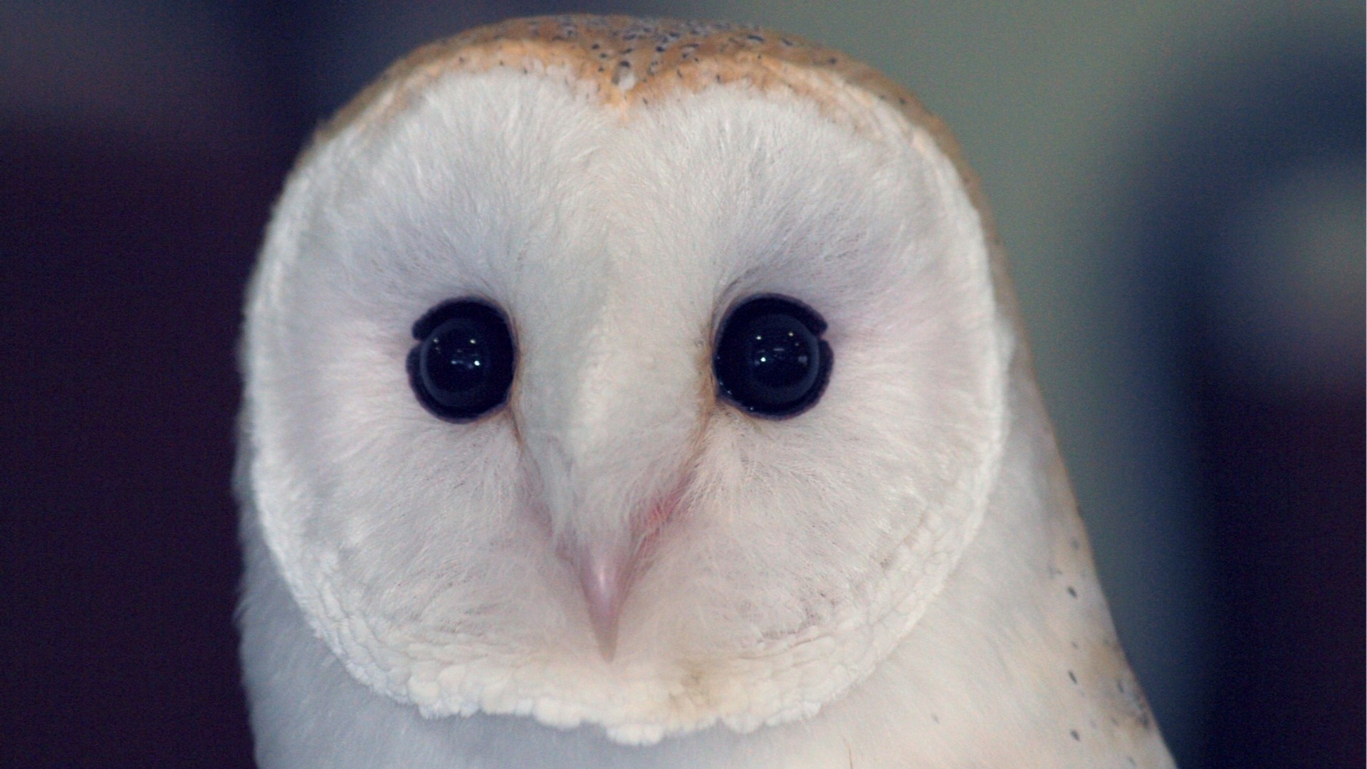 Preview owl