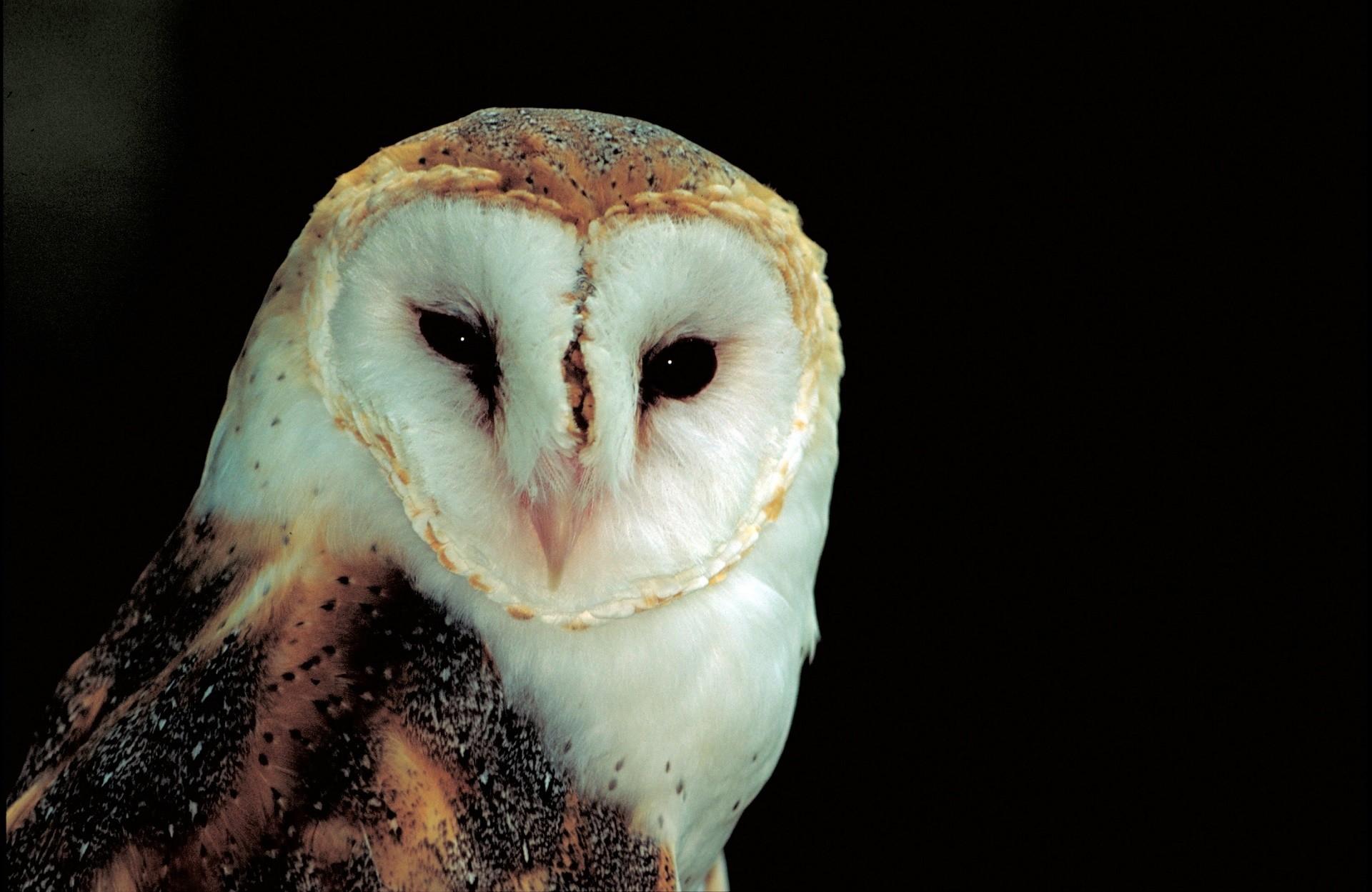 … Barn Owl …