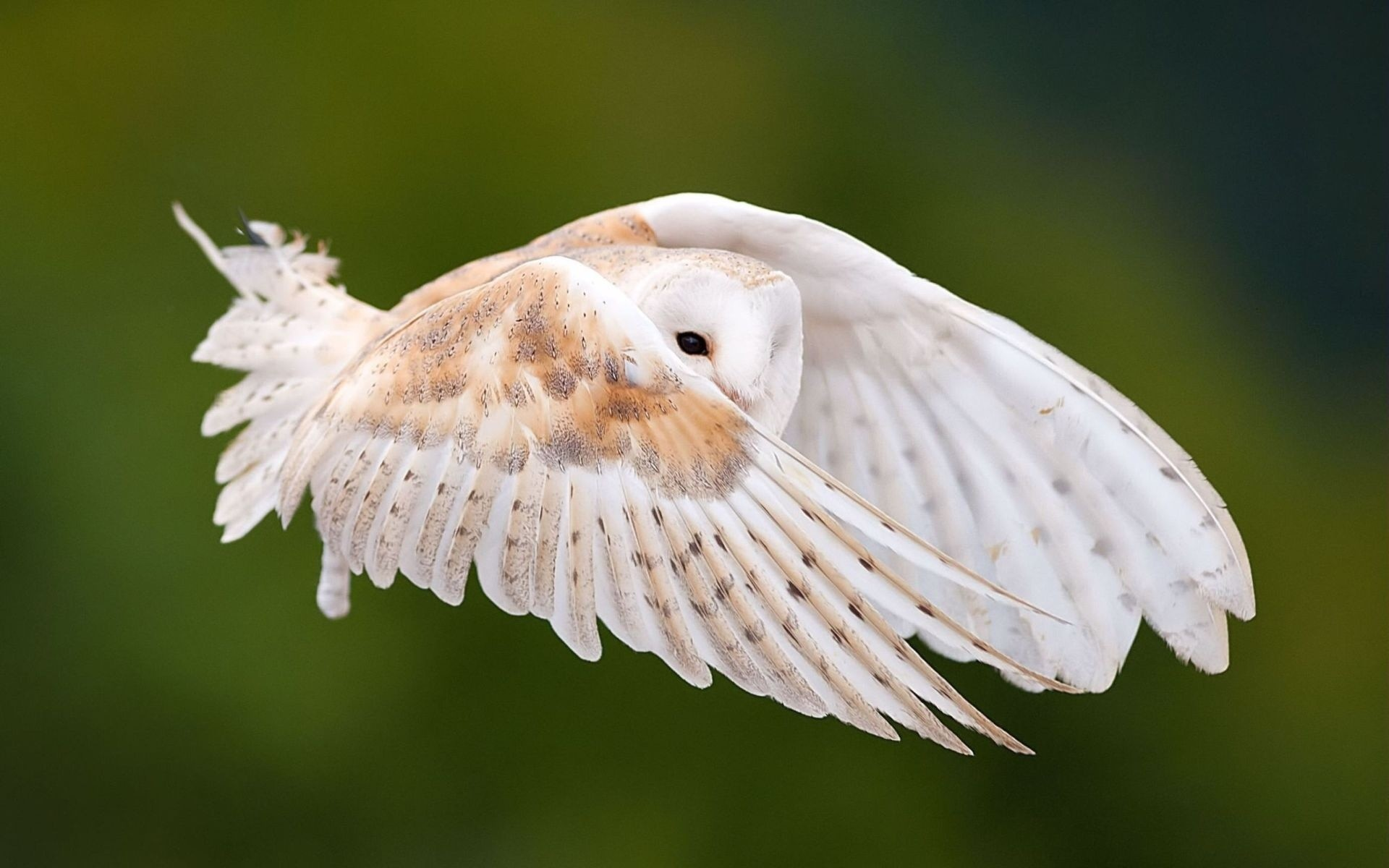 Photo western barn owl by wise photographie on