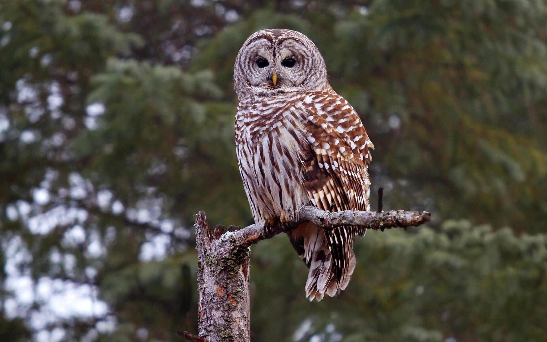Animal – Barred Owl Wallpaper